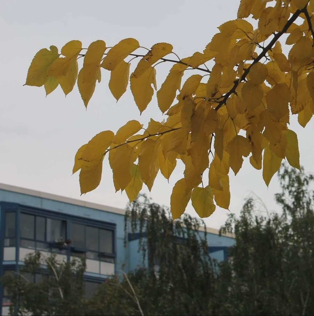 Das Bild zeigt die großen Blätter des Weißen Maubeerbaumes, die auch als Futter für die Seidenraupenzucht verwendet werden. An den fruchttragenden Kurztrieben sind sie ei- bis herzförmig, mit gezähnten Blatträndern und aufgesetzter Spitze versehen.