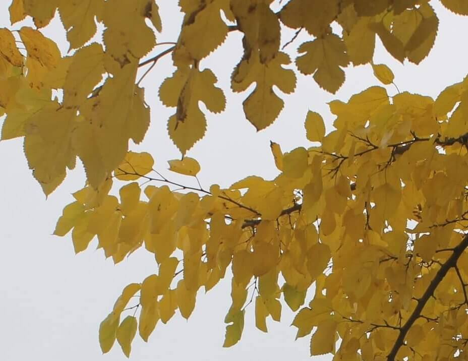 Das Bild zeigt die ei- bis herzförmigen Blattformen an den gewöhnlich fruchttragenden Kurztrieben sowie die typischen fünflappigen Blätter an den Langtrieben, die die Bestimmung des Baumes erleichtern.