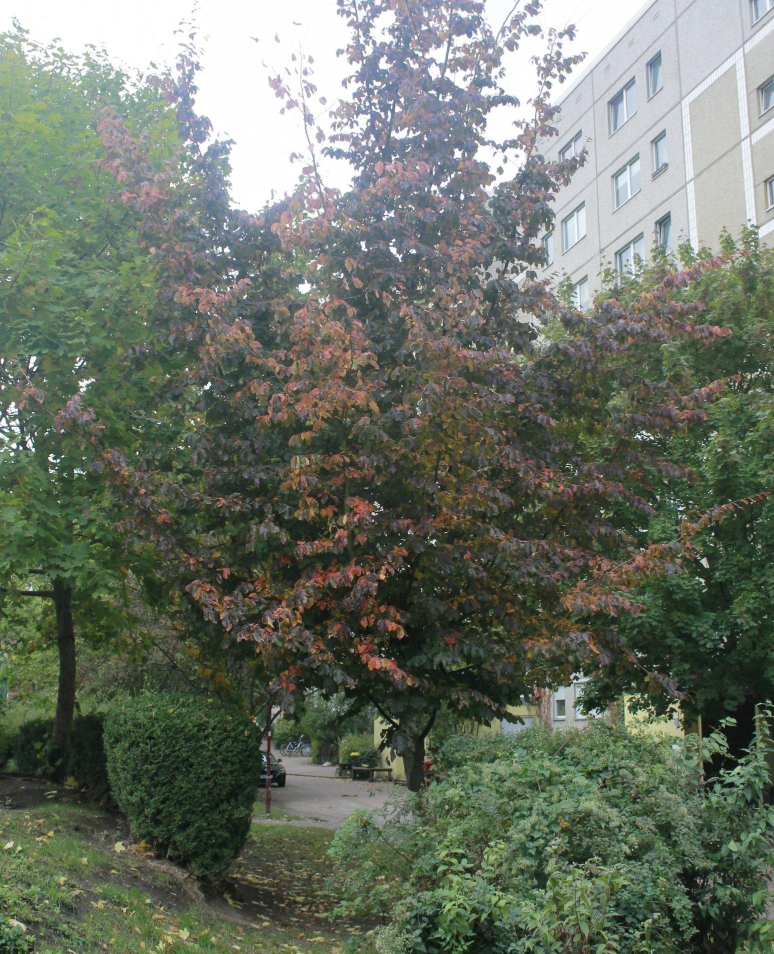 Das Bild zeigt einen kleinen Baum einer Parrotie im Innenhof an den Wohnblöcken der Anlieger an der Ortolfstraße im Kosmosviertel. Sie zeigt hier im Oktober ihr buntes Herbstlaub.