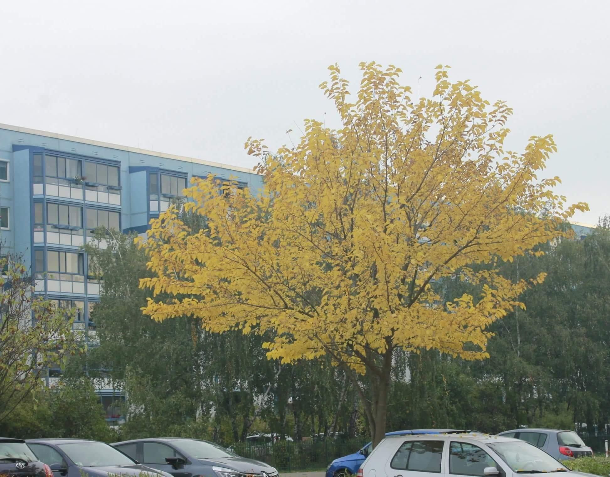 Das Bild zeigt ein einzeln stehendes Exemplar eines Weißen Maulbeerbaums am Westabschnitt der Venusstraße. Im Oktober ist sein Laub goldgelb gefärbt.