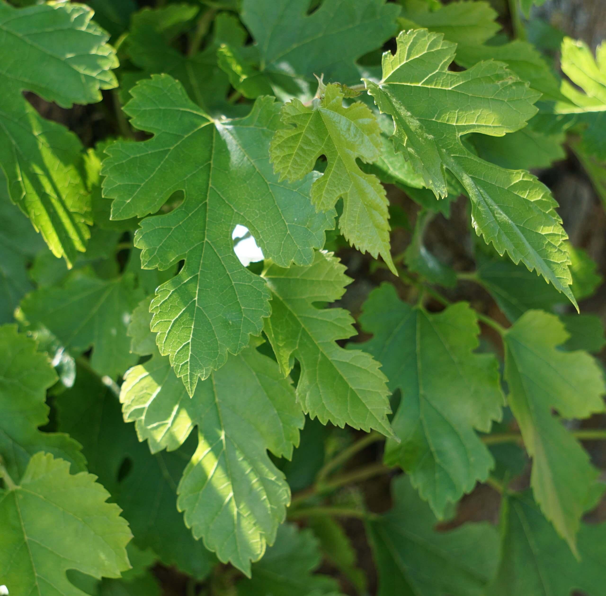 Das Bild zeigt Laubblätter des Weißen Maulbeerbaums, die den gelappten Blatt-Typ präsentieren. Diese sind beim Schwarzen Maulbeerbaum nicht vorhanden. Hier diese Laubblätter an einem Exemplar an der Venusstraße im Kosmosviertel, Ende Mai 2021.