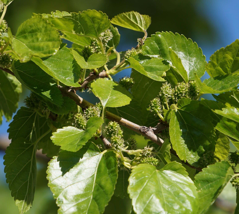 Das Bild zeigt die hier zu Juni-Beginn noch kleinen und grünen Früchte an einem Weißen Maulbeerbaum an der Venusstraße, nahe zur Schönefelder Chaussee hin. Hier im Juni 2021. Die Baumblüte war im Mai.