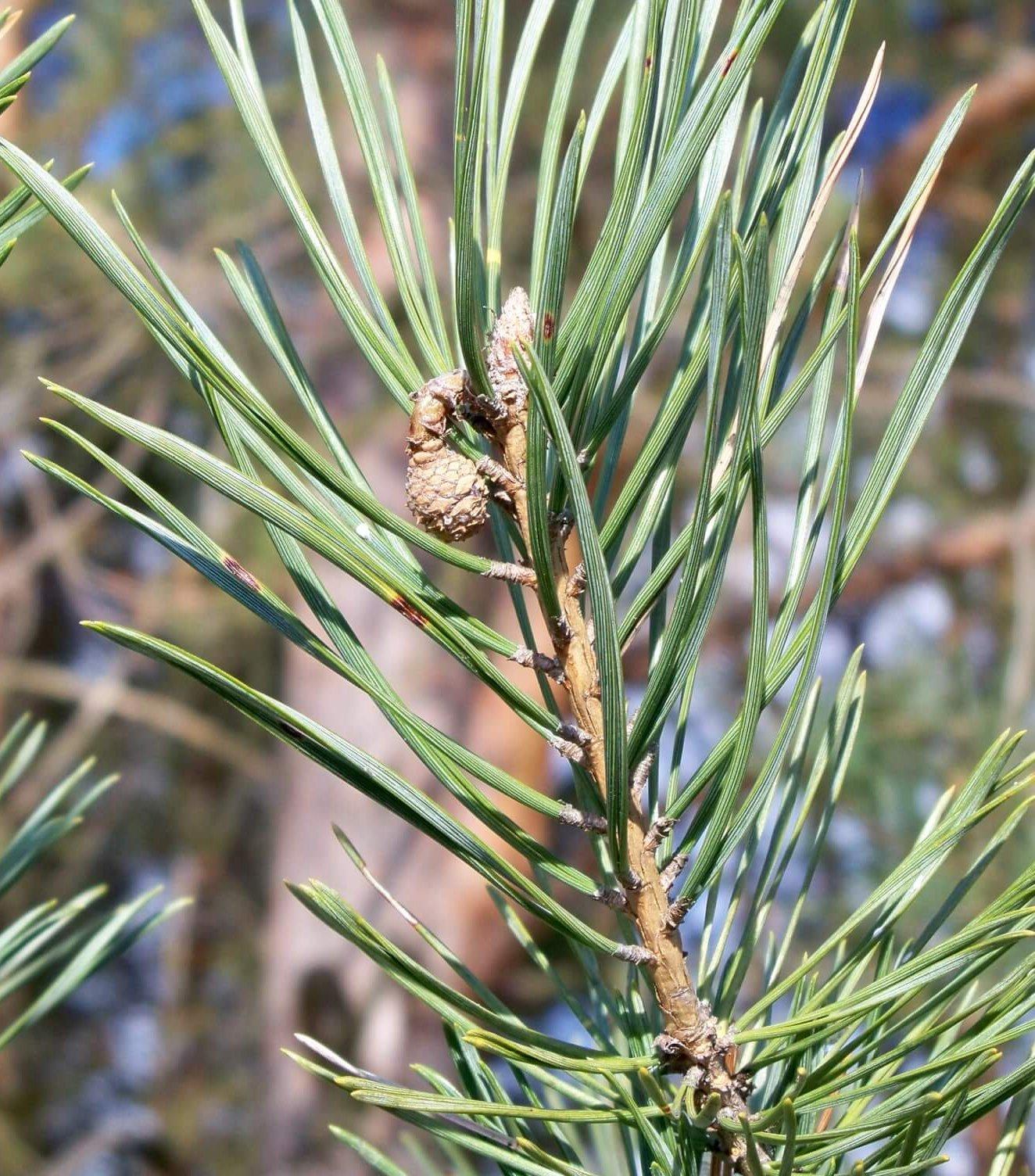 Das Bild zeigt einen kleinen, fast einjährigen Kiefernzapfen im Februar. Er wurde im Mai des Vorjahres bestäubt, wobei die Samenanlagen erst bis in das kommende Frühjahr befruchtet werden.