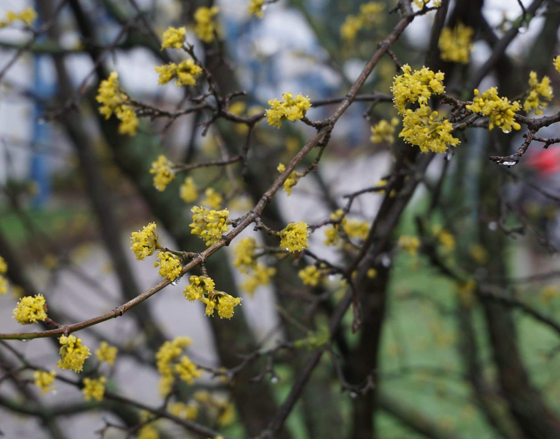 Das Bild Blüten an einer Kornelkirsche, die, wie hier, oft schon ab Mitte Februar zu blühen beginnt. Die gelben Blüten sind dabei sehr auffällig. Hier ein Ausschnitt aus einem Strauch im Bereich am Pegasuseck im Kosmosviertel.