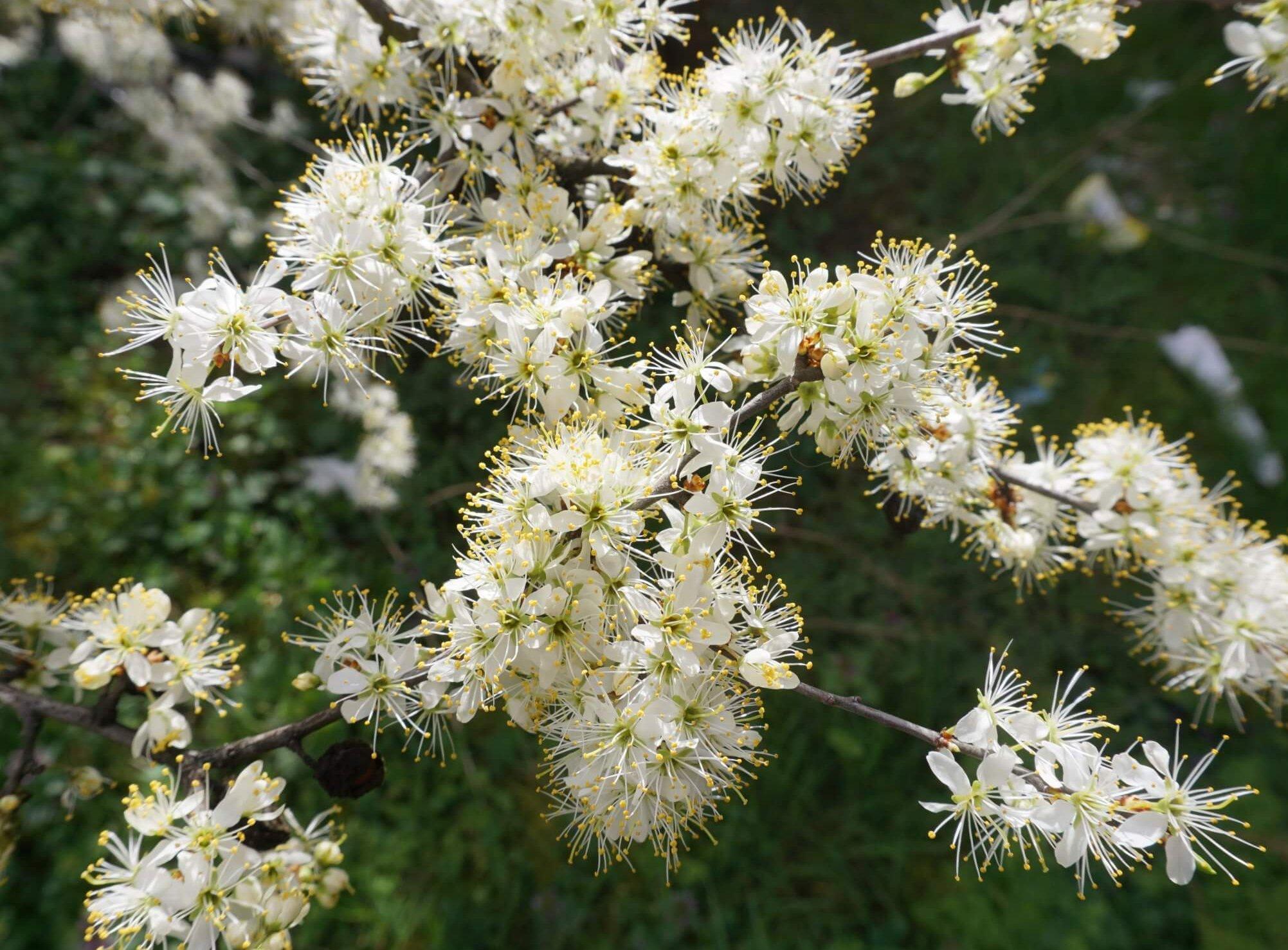 Das Bild zeigt die dicht stehenden und auffällig weißen Blüten an den sonst noch laublosen Zweigen eines Schlehdorns im Kosmosviertel. Zweite Märzhälfte 2020.