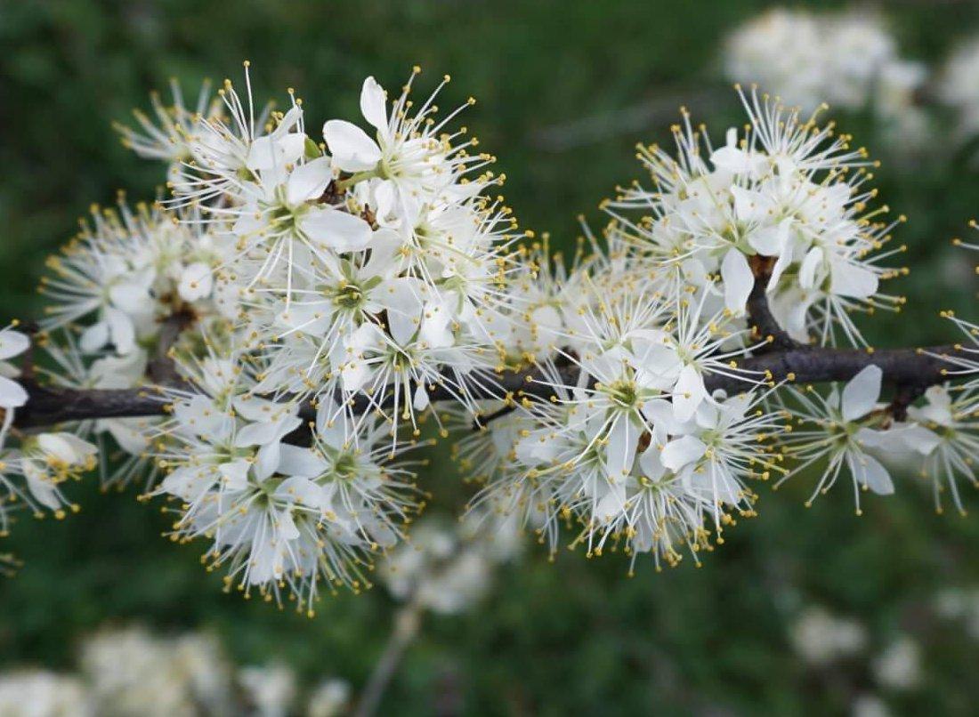 Das Bild zeigt die fünfzähligen Blüten des Schlehdorns, die durch 5 recht große weiße Kronblätter, fünf grüne Kelchzipfeln, einer großen Zahl von langstieligen Staubblättern mit gelben Staubbeuteln und einer im Zentrum langen, grünen Narbe mit gelbem Griffel gekennzeichnet.