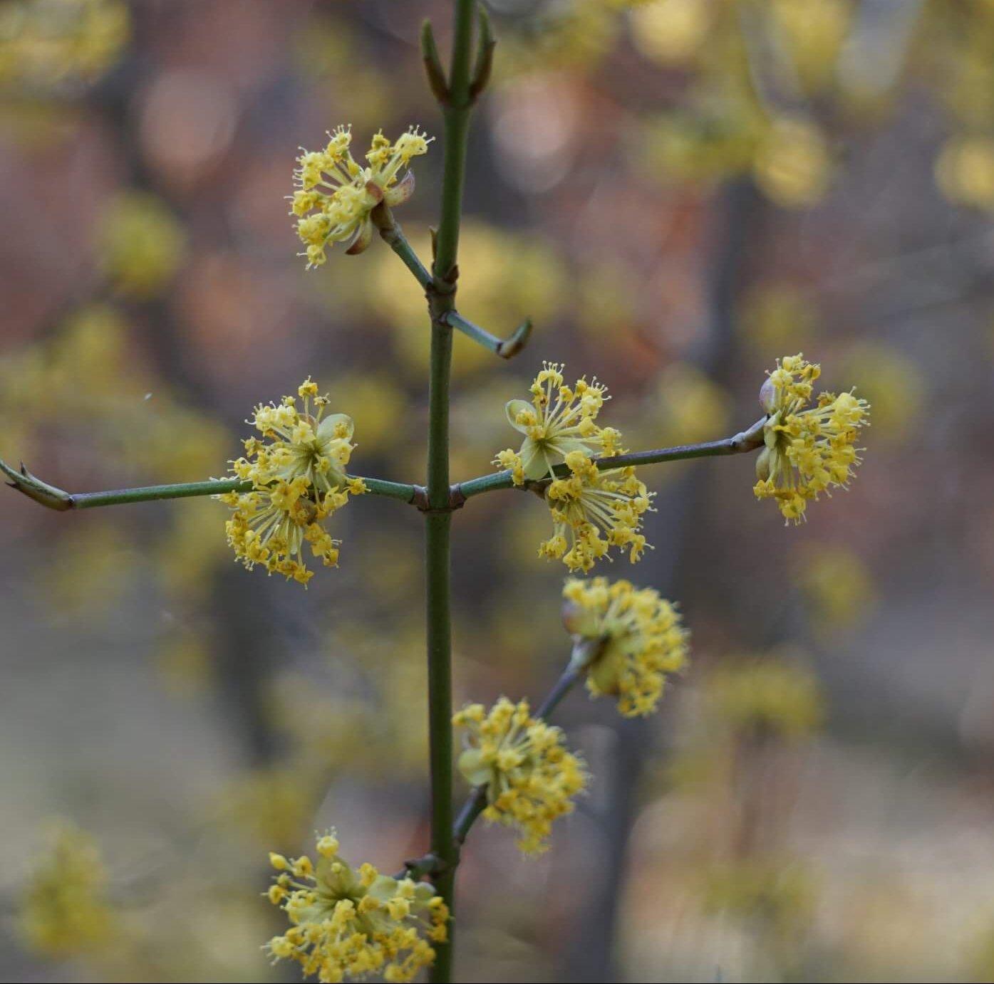 Das Bild zeigt die Blütenstände der Kornelkirsche, bestehend aus doldenartig angeordneten Einzelblüten, wie hier im Stadium kurz nach der Blüte gut zu sehen ist. Hier entwickeln sich aus den Fruchtknoten dann die kirschenähnlichen Steinfrüchte. Stadium Ende März 2020 an einem Strauch bei den Seddinbergen im Müggelwald.
