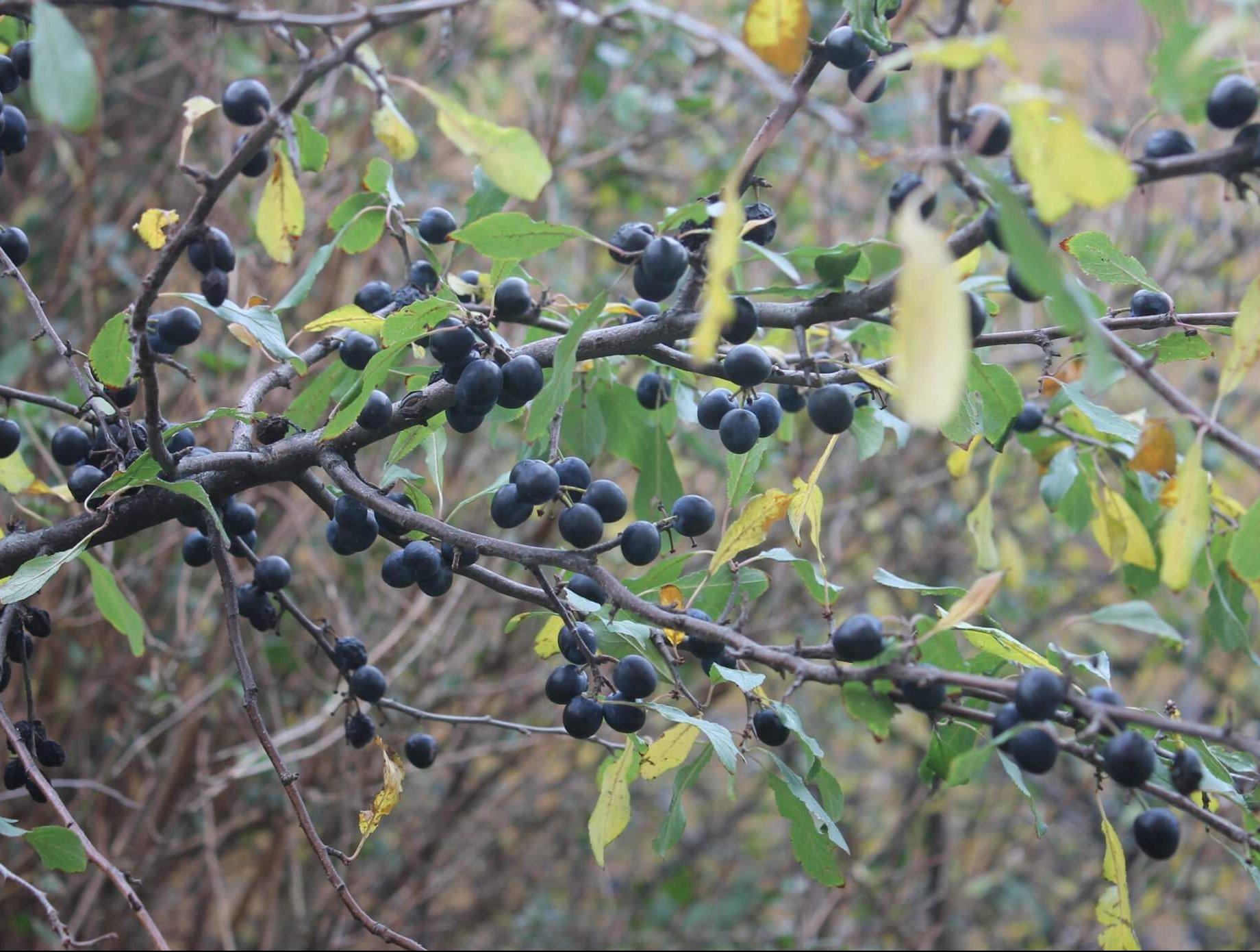 Das Bild zeigt die kleinen, etwa 2 cm messenden Steinfrüchte des Schlehdorns an einem Strauch im Kosmosviertel. Sie sind, hier Ende Oktober, schwarz und leicht bereift, was ihnen einen bläulichen Ton verleiht.