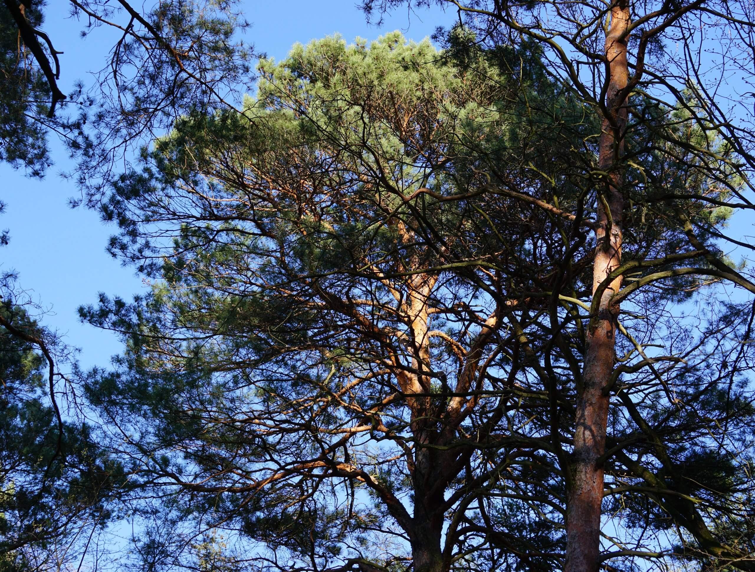 Das Bild zeigt die Krone einer Wald-Kiefer im Bereich Pelzlake östlich von Müggelheim. Die Kronen neigen bei älteren und höheren Bäumen zu breiten schirmartigen Formen.