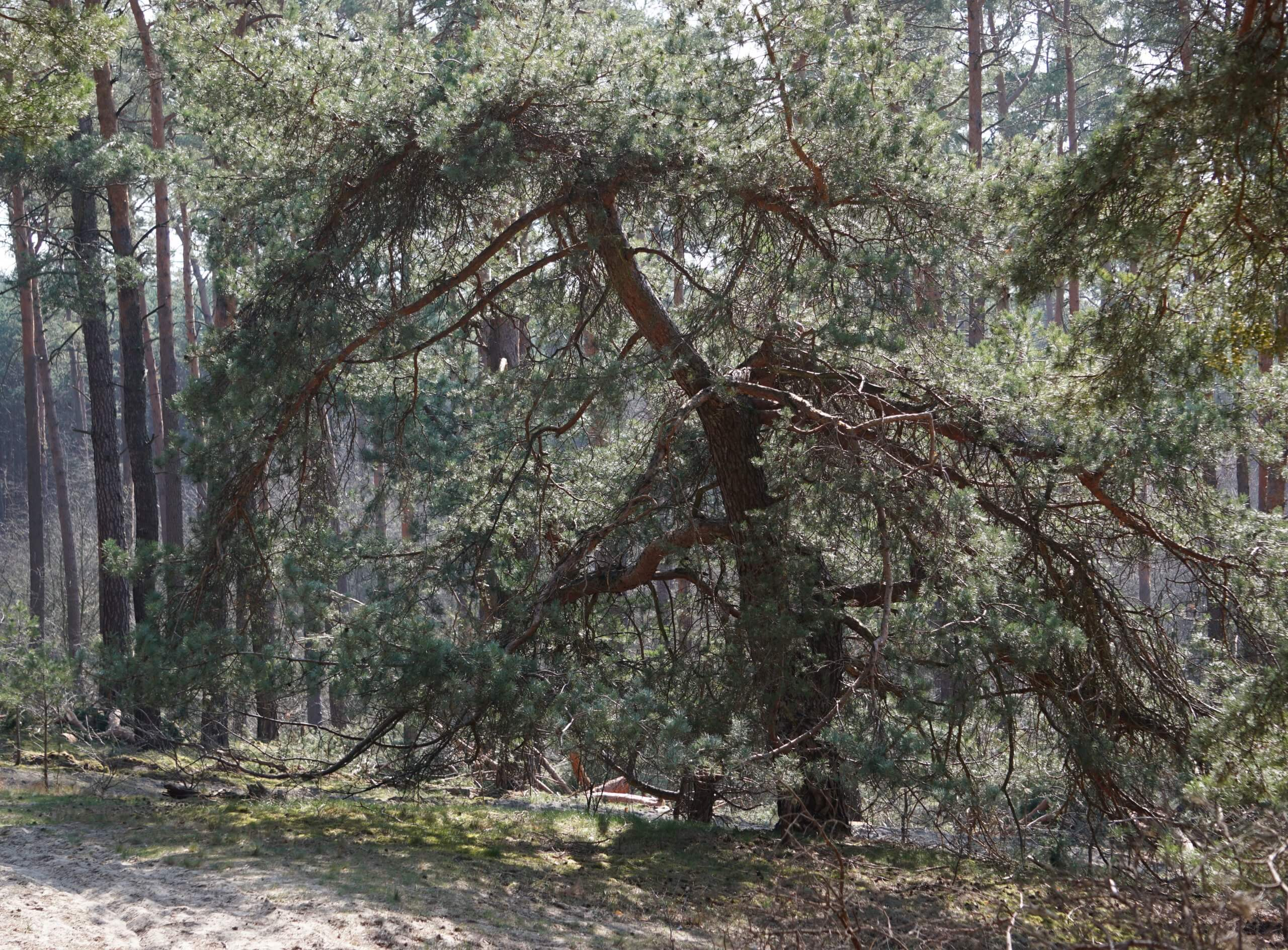 Das Bild zeigt eine knorrige Wald-Kiefer, die außerhalb des Forstbestandes auf offener, gut durchlichteter Fläche auf Endmoränensanden gewachsen ist. Sie zeigt ausladende, bis zum Boden reichende Äste und eine nur geringe Höhe. Seddinberge bei Müggelheim.