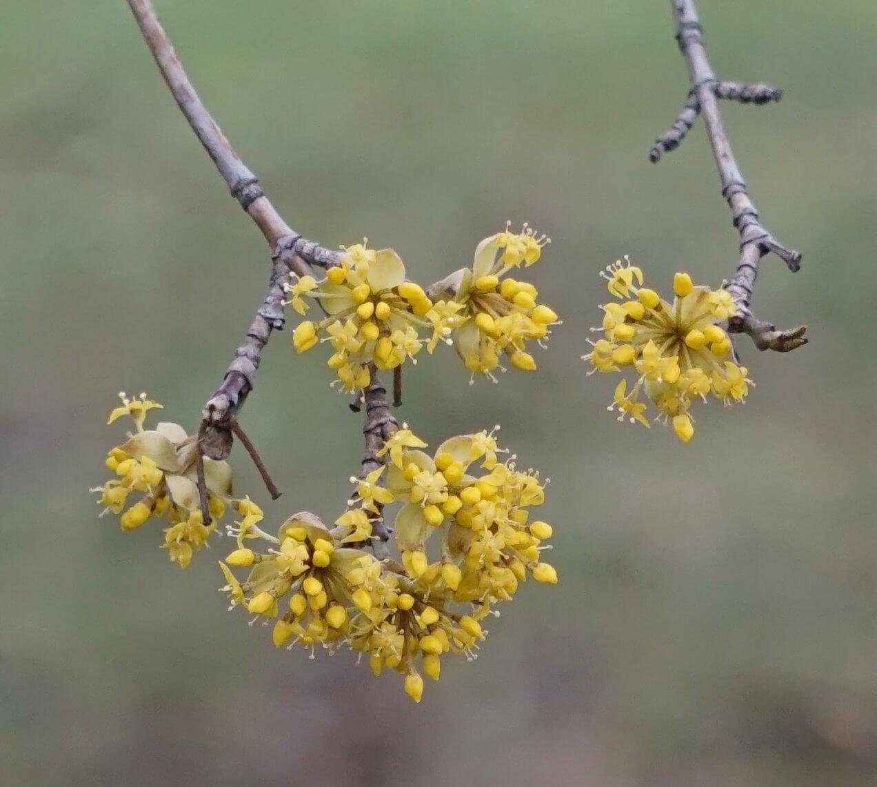 Das Bild zeigt die doldenartig verteilten kleinen Einzelblüten mit ihren 4 gelben Kronblättern. Sie öffnen sich im zeitigen Vorfrühling, hier im März 2021 im Kosmosviertel. Gut zu erkennen sind auch die 4 derben Knospenschuppen.