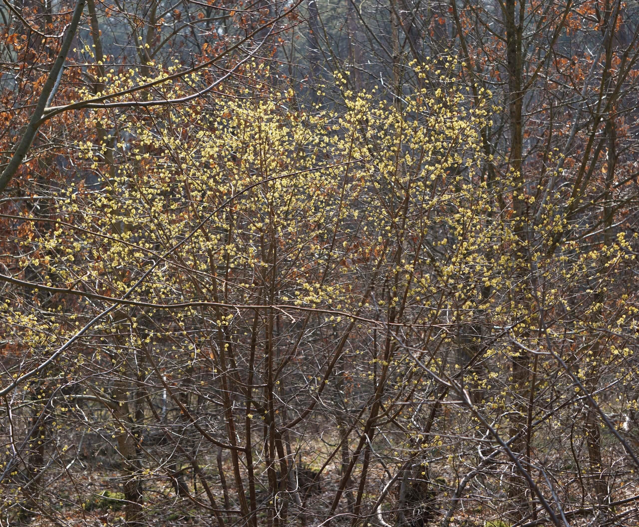 Das Bild zeigt einen Strauch einer abblühenden Kornelkirsche als Unterbau in einem Kiefern-Eichen-Ahorn-Mischwald in den Seddinbergen bei Müggelheim in den Berliner Forsten.