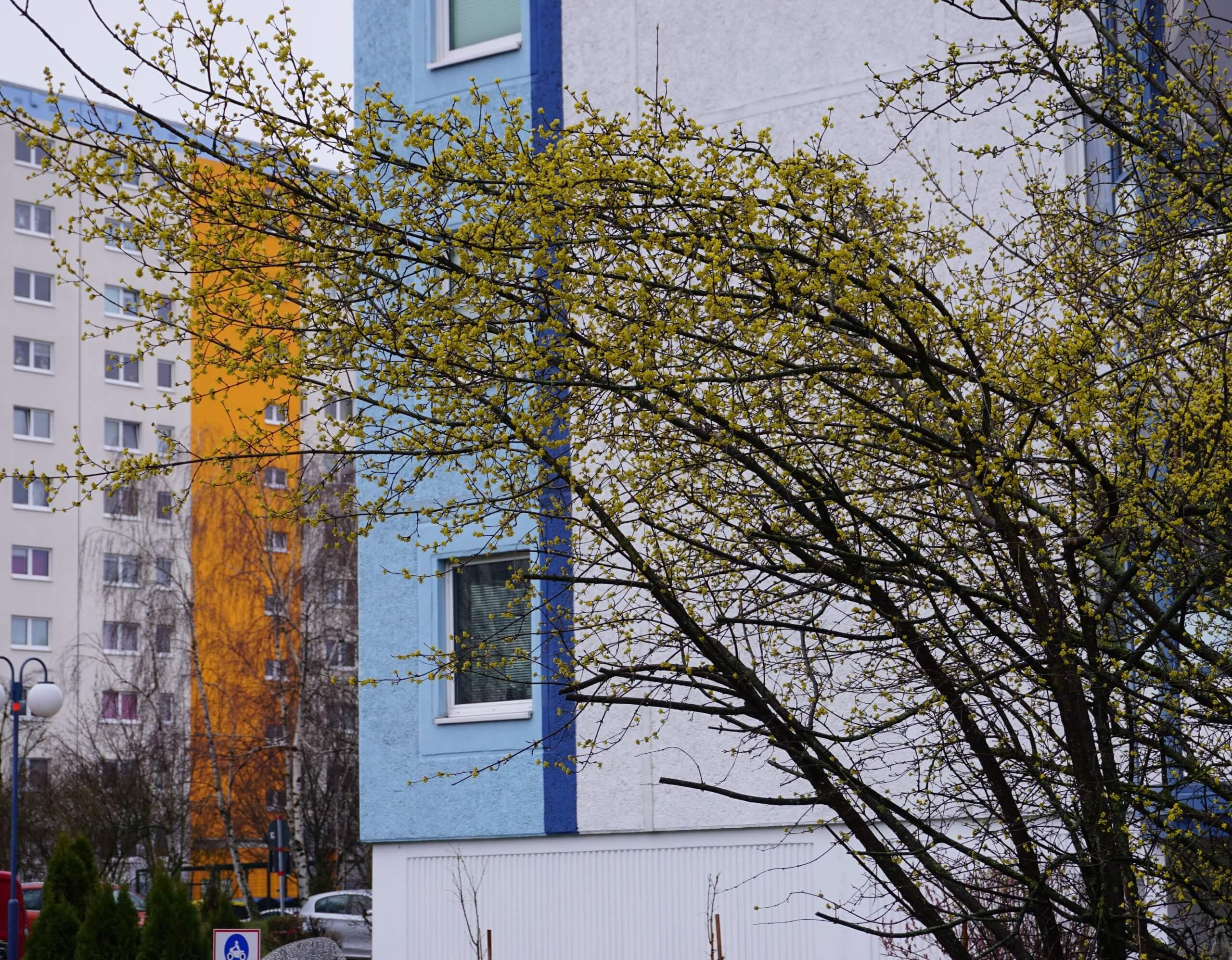Das Bild zeigt ein formlos ausgreifendes Gehölz einer Kornelkirsche in Nähe der Pegasus-Schule an der Venusstraße im Kosmosviertel. Hier zur Blüte im Februar 2020.
