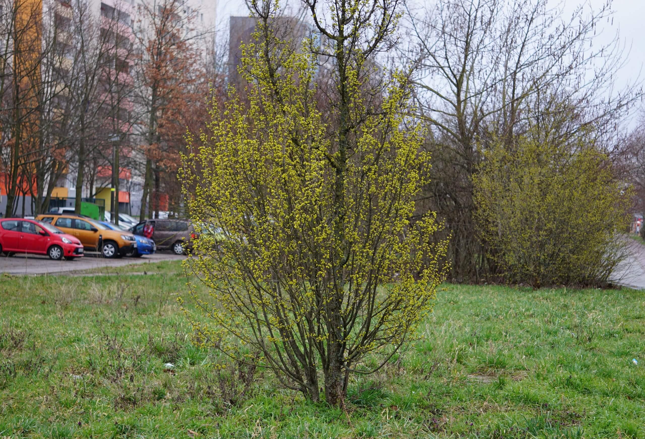 Das Bild zeigt blühende Sträucher der Kornelkirsche an der Ecke Schönefelder Chaussee / Venusstraße, Mitte März 2021.