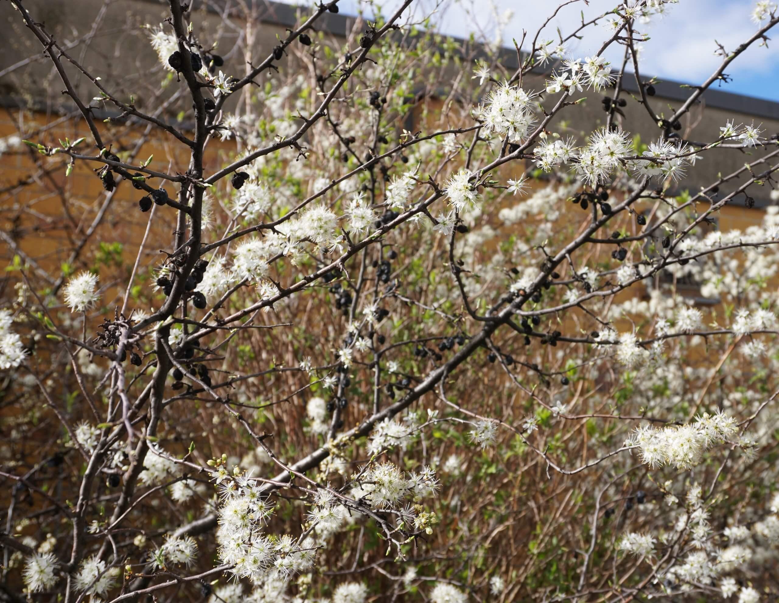 Das Bild zeigt einen blühenden Schlehdorn im März, an dem noch einige verschrumpelte schwarze Steinfrüchte hängen.