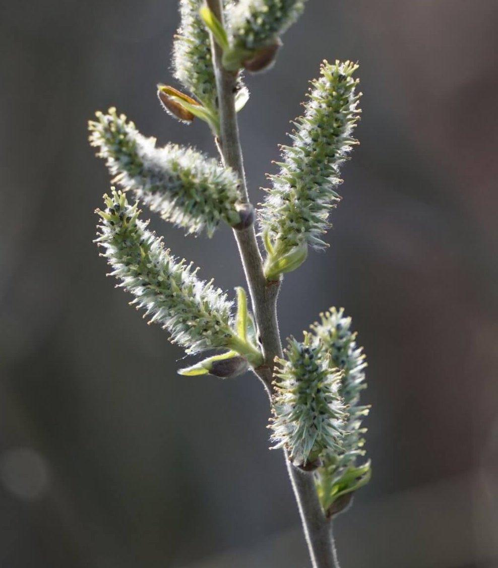 Das Bild zeigt die gestreckten weiblichen Blütenkätzchen einer Sal-Weide im Blühstadium. Die gelblichen Narben sind an den Enden der grünen Fruchtblätter sichtbar. Hier am Ufer des Teufelssees in den Müggelbergen.