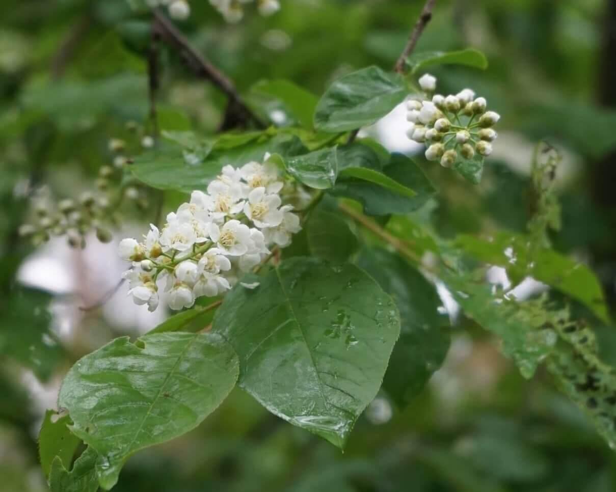 Das Bild zeigt die Sicht auf die Achse der Blütentraube. Es sind hierbei gut die umlaufend angeordneten Blütentriebe zu erkennen, hier an einer Gewöhnlichen Traubenkirsche unweit der Müggelberge.