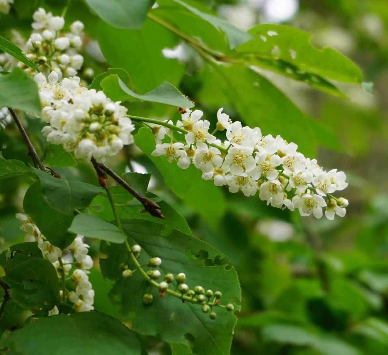 Das Bild zeigt die zylindrische Blütentraube der Gewöhnlichen Traubenkirsche. Sie besteht aus 20 - 40 umlaufend stehenden Einzelblüten mit weißen Kronblättern.
