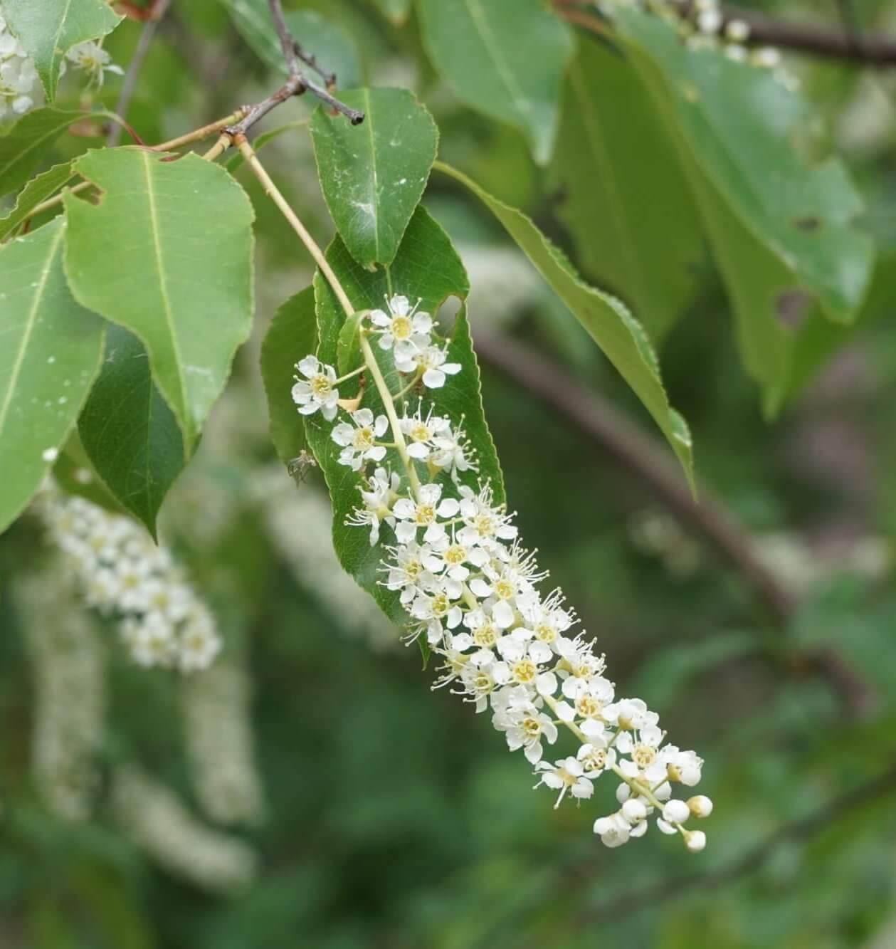 Das Bild zeigt die ebenfalls zylindrisch-lange Blütentraube der aus Nordamerika stammenden späten Traubenkirsche, hier gegen Ende Mai im Müggelwald unweit von Müggelseeperle.