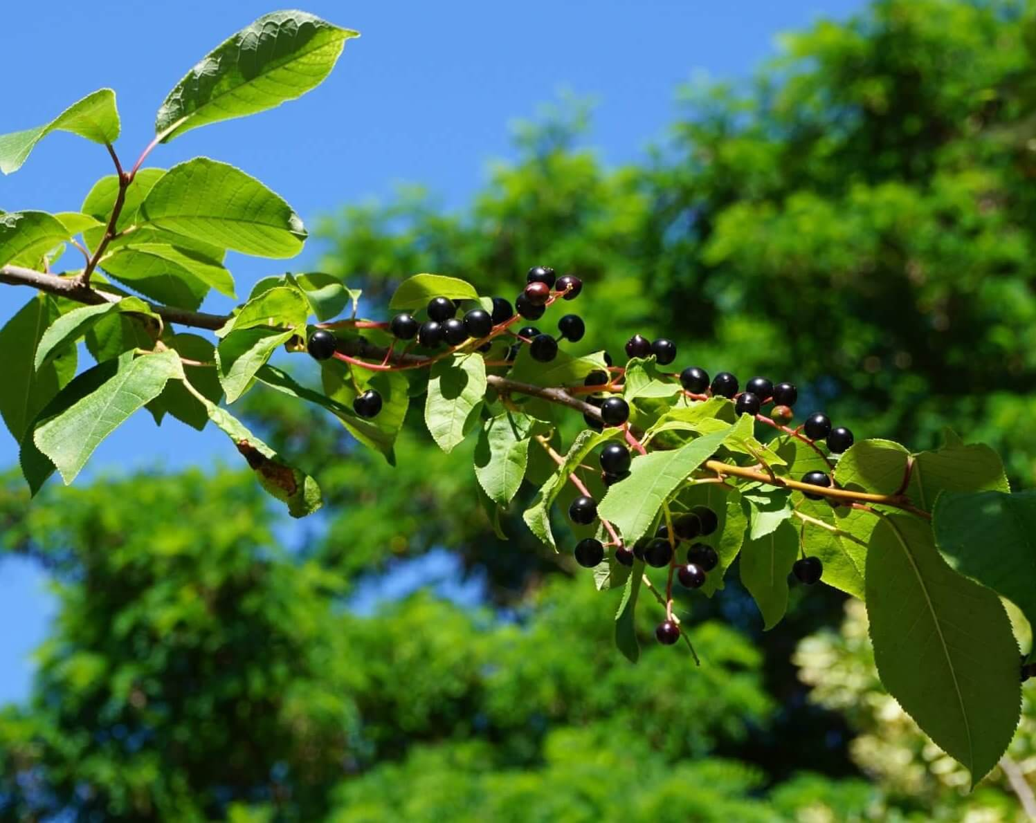 Das Bild zeigt die glänzenden schwarzen Steinfrüchte (Kirschen) an den Fruchttrauben einer Gewöhnlichen Traubenkirsche im Juni.