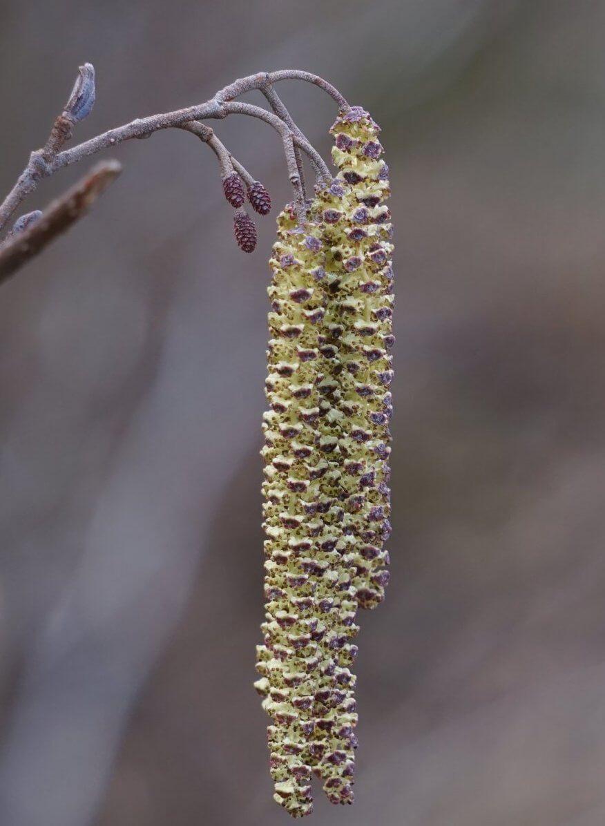 Das Bild zeigt Blütenstände an einer Schwarz-Erle am Teufelssee in den Müggelbergen (März 2021). Die Staubbeutel der männlichen Kätzchen sind bereits zerplatzt und haben ihren Pollen abgegeben. Die Fruchtschuppen der weiblichen Blütenzapfen sind noch geöffnet. Ihre Samenanlagen werden durch Nachbarbäume bestäubt.