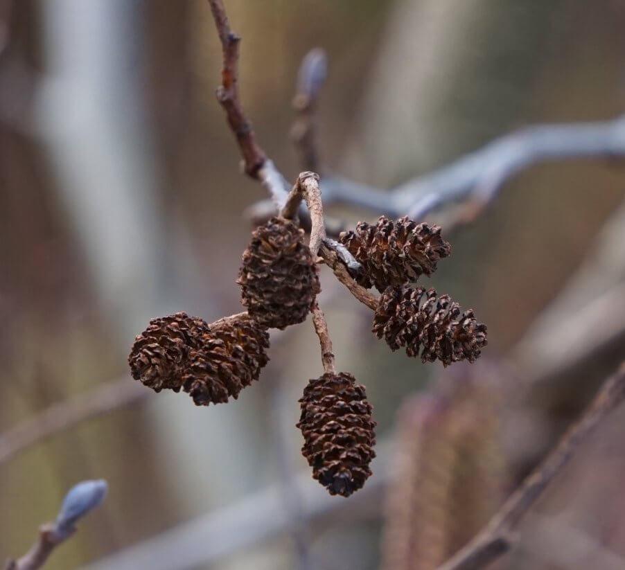 Das Bild zeigt die zapfenartigen Fruchtstände an einer Schwarz-Erle. Sie sind verholzt und verbleiben oft über den Winter am Baum. Hier im März 2021 an einem Baum am Teufelssee in den Berliner Müggelbergen.