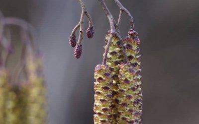 Schwarz-Erle (Blüte) / Projekt: Natur im Kosmosviertel
