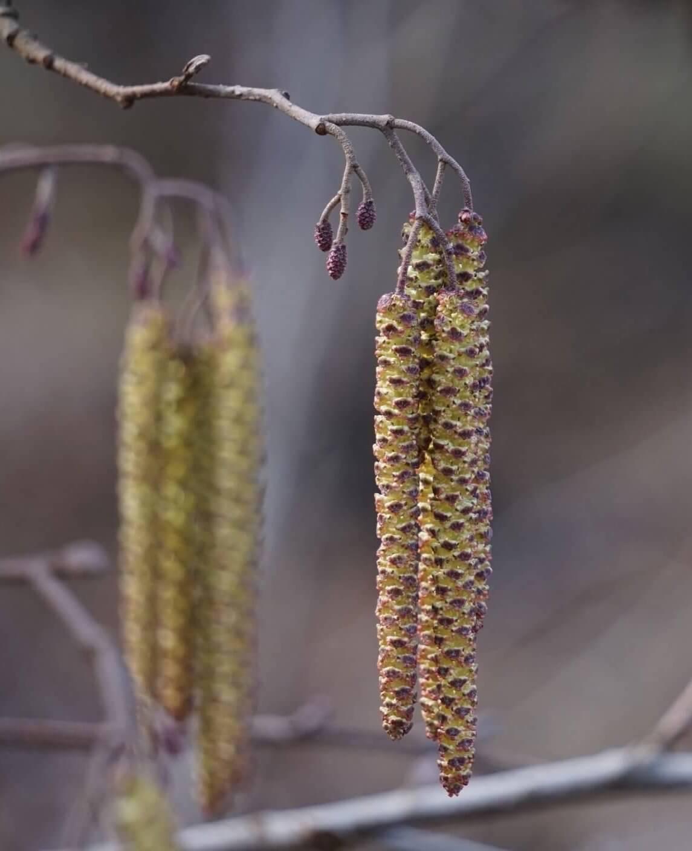 Das Bild zeigt die Blütenstände der einhäusigen Schwarz-Erle. Die männlichen Kätzchen öffnen im März ihre Staubblätter. Die oberseits dieser am Zweig abgehenden sehr kleinen weiblichen Blütenstände öffnen ebenfalls ihre rötlichen Fruchtschuppen.