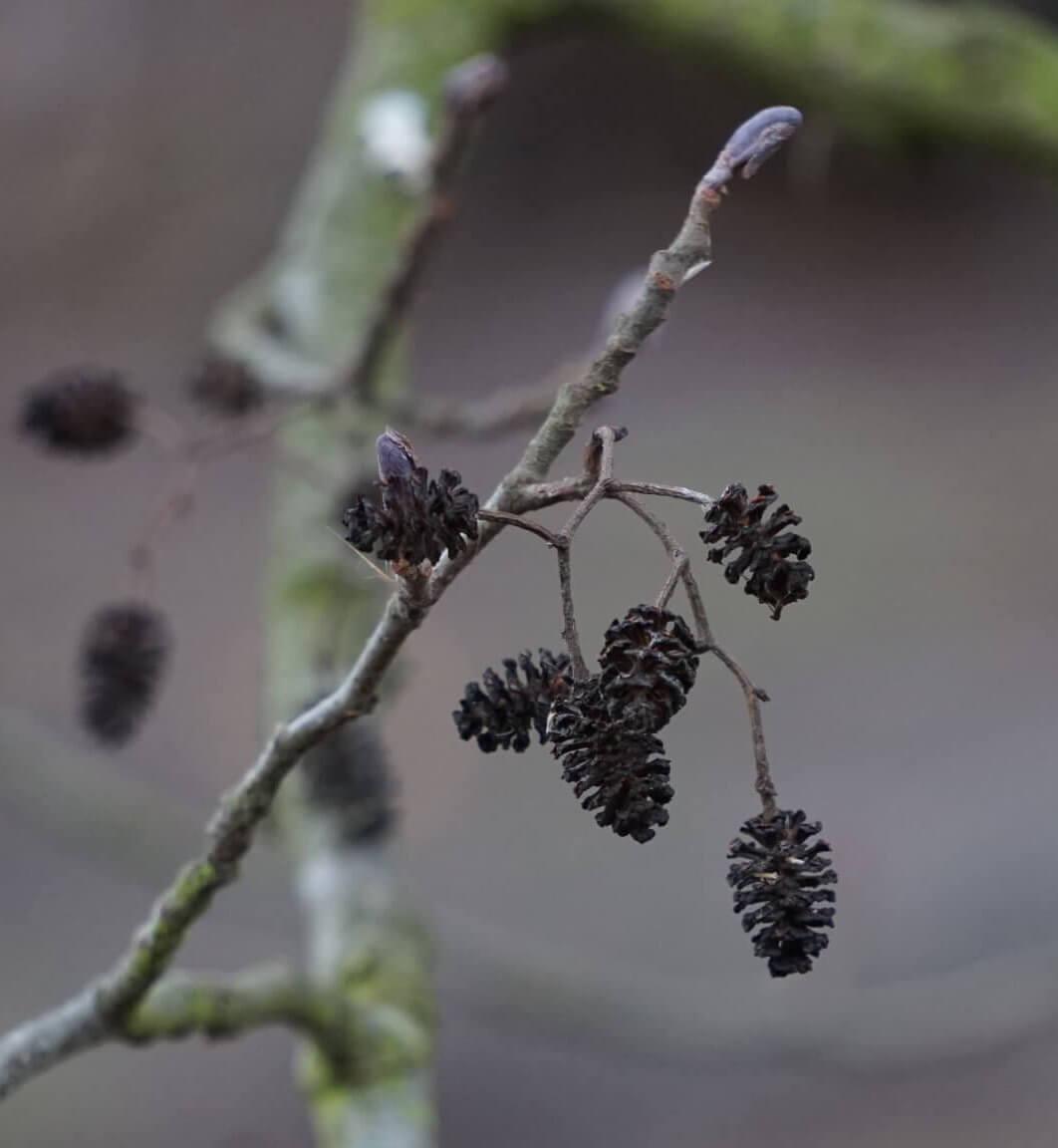 Das Bild zeigt die zapfenartigen Fruchtstände an einer Schwarz-Erle. Sie sind verholzt und verbleiben oft über den Winter am Baum. Hier im März 2021 an einem Baum am Seddinsee am östlichen Berliner Stadtrand.