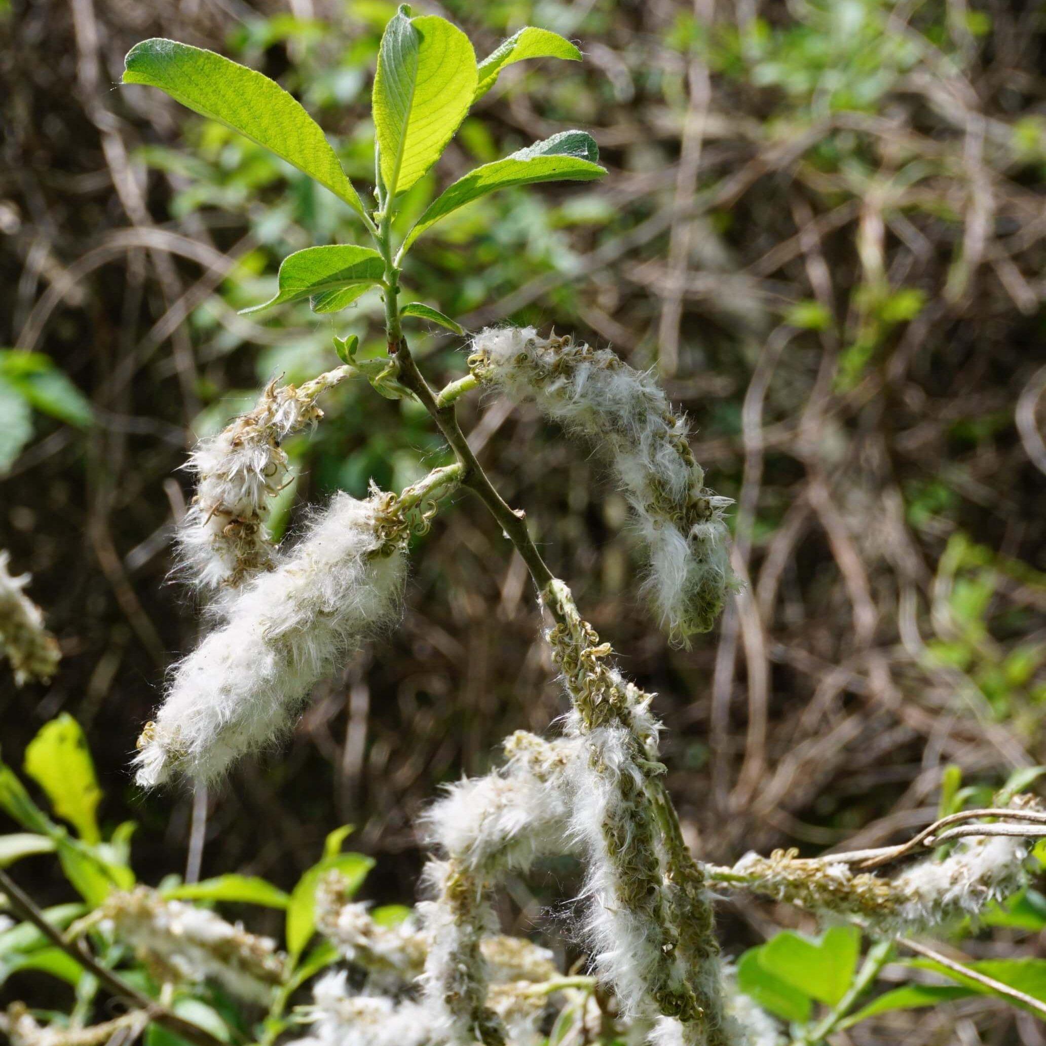 Das Bild zeigt Fruchtkätzchen einer Sal-Weide, aus denen die grauwollig behaarten Samen aus den grünen Kapselfrüchten austreten. Hier an einem Exemplar am Wiesengraben im Köpenicker Stadtwald, Mai 2021.