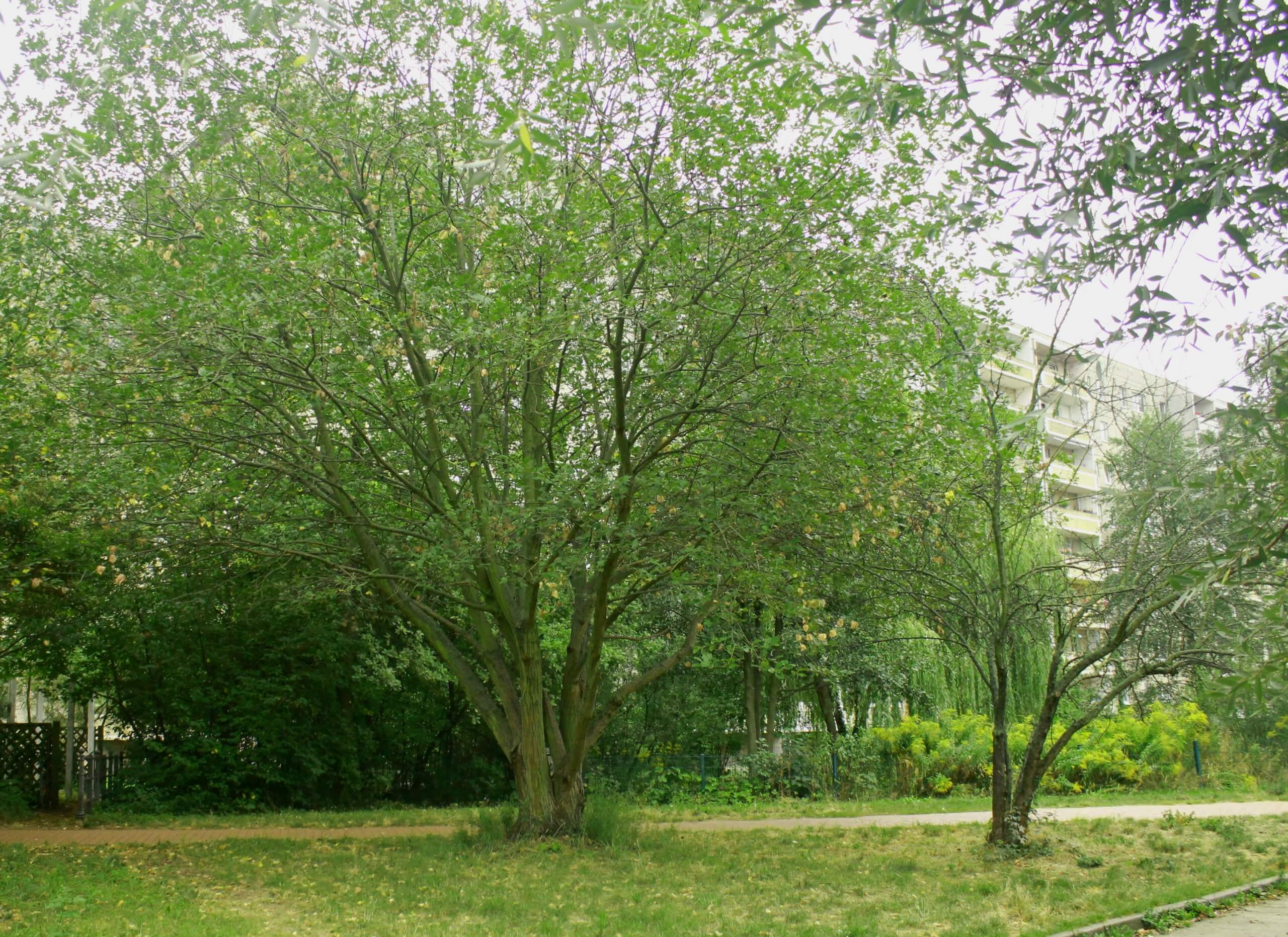 Das Bild zeigt Exemplare von Sal-Weiden als Bestandteil des zentralen Grünzuges im Kosmosviertel. Die Bäume neigen zur Mehrstämmigkeit und bilden ausladende Kronen.