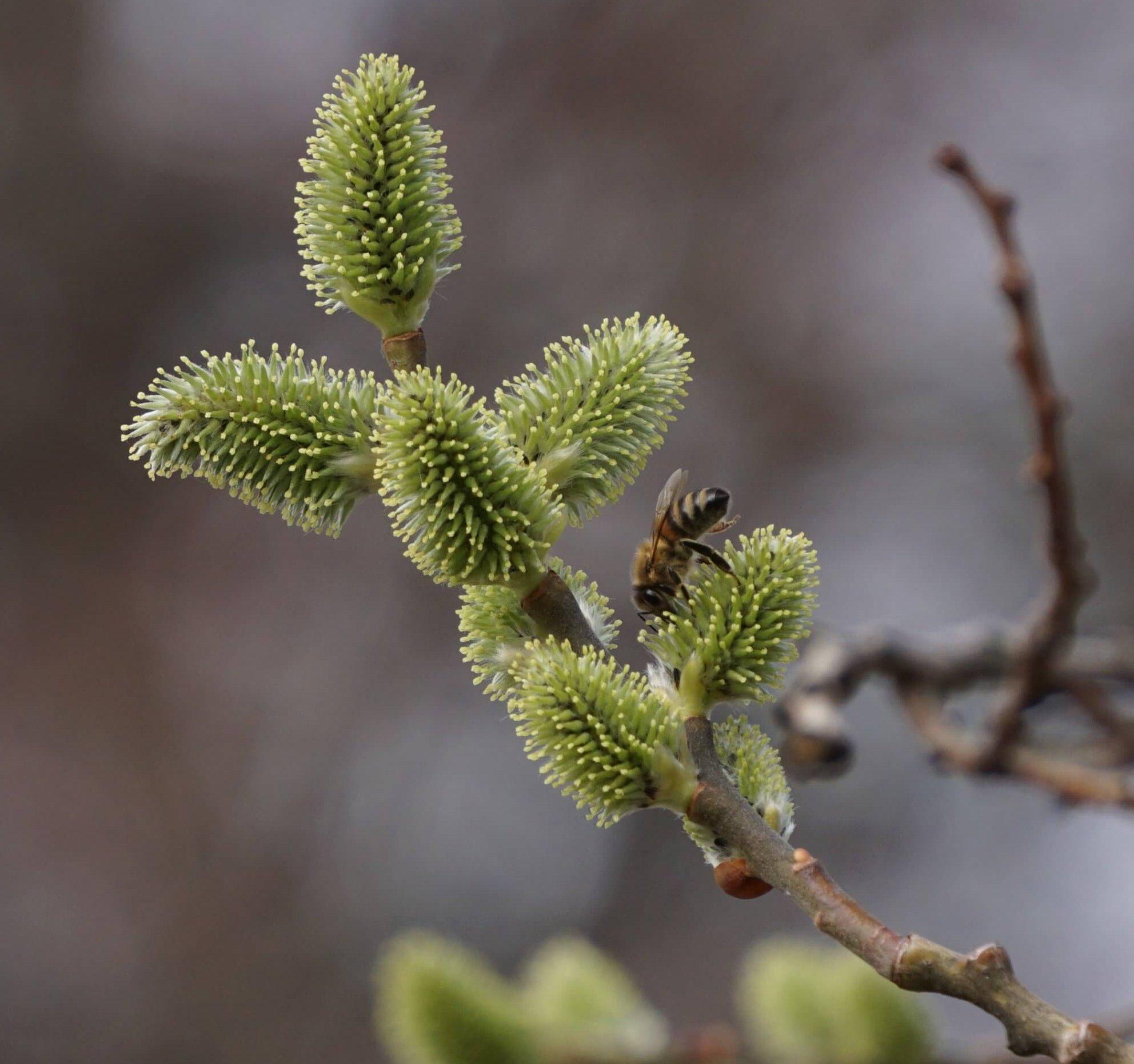 Das Bild zeigt die weiblichen Blütenkätzchen der Sal-Weide an einem Baum im Grünzug des Kosmosviertels. Die Fruchtblätter, die an den Enden die Narben tragen, sind jetzt sichtbar und stehen ab. Nektardrüsen ziehen Insekten an wie hier eine Biene. März 2021.