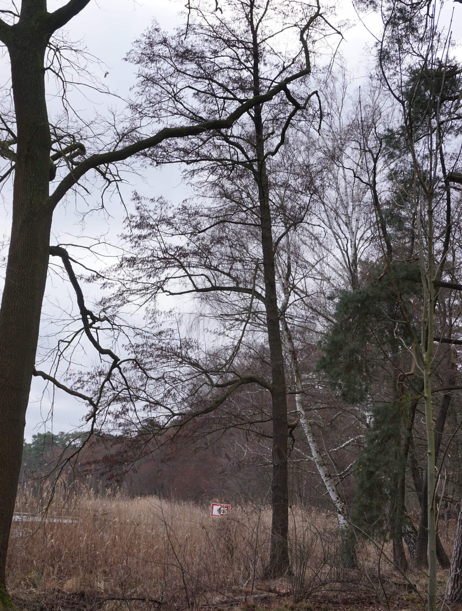 Das Bild zeigt eine Schwarz-Erle am Seddinsee im östlichen Berlin. Sie entwickeln, auch nur teilweise von anderen Bäumen umgeben, hochaufragende Baumgestalten mit waagerecht abgehenden Ästen.