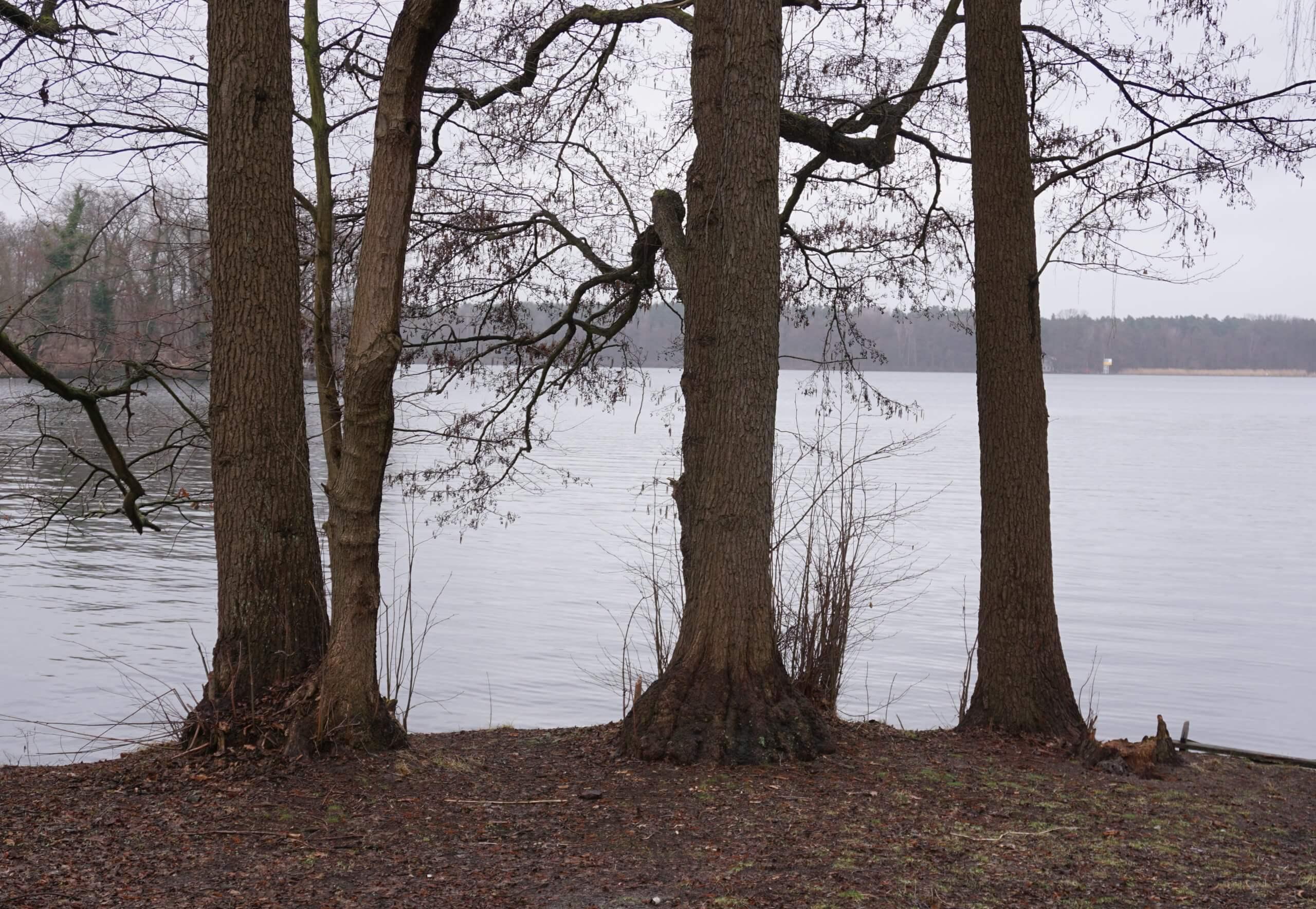 Das Bild zeigt Schwarz-Erlen im Uferbereich eines berlin-brandenburgischen Sees. Der mittlere Baum zeigt die für die Schwarz-Erle typischen Verdickungen an der Stammbasis und die Wurzelreiser. Hier am Seddinsee im östlichen Berlin im März 2021.