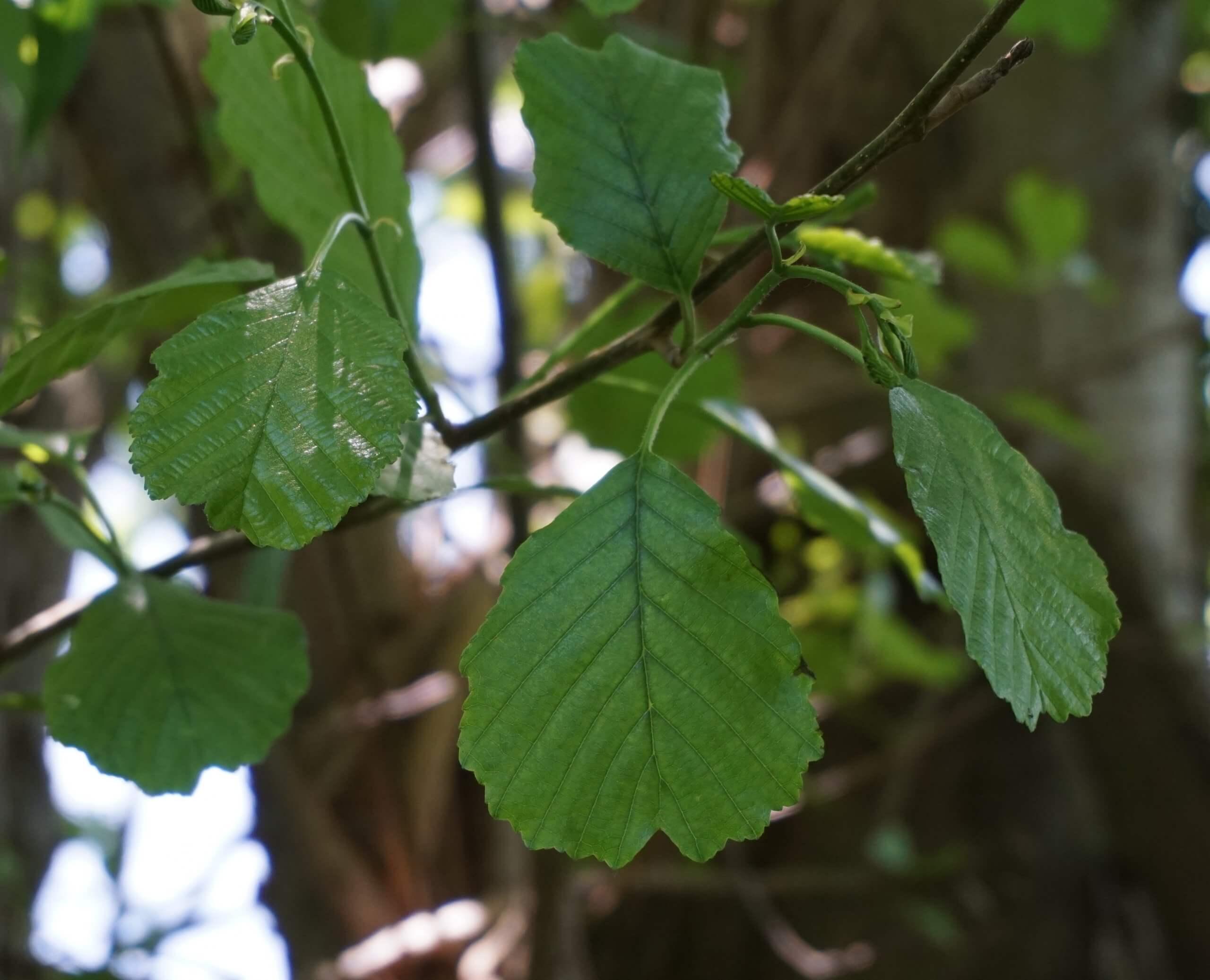 Das Bild zeigt einen die Schwarz-Erle kennzeichnenden Blatttyp mit einer Einkerbung am Blatt-Ende, was das Blatt herzförmig erscheinen lässt.