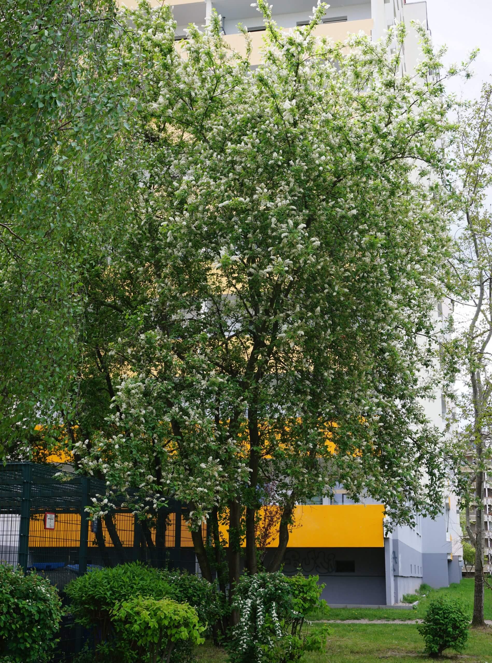 Das Bild zeigt eine Traubenkirsche, die unweit der Venusstraße im Kosmosviertel steht. Hier stehen einige sehr stattliche Exemplare der Gewöhnlichen Traubenkirsche entlang der Wohnblöcke. Hier zur Blütezeit Anfang Mai 2020.