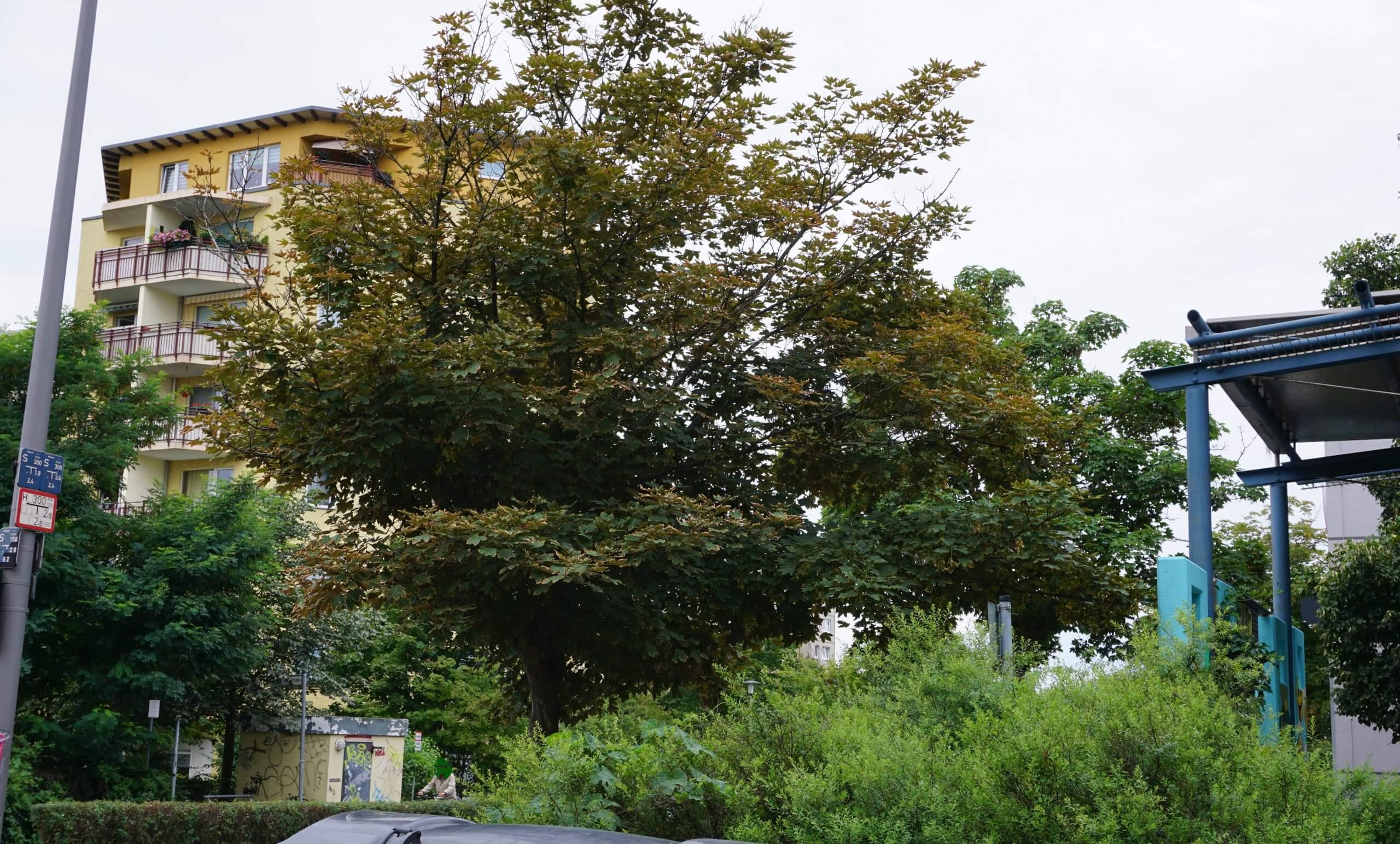 Das Bild zeigt ein Berg-Ahorn im Kosmosviertel an der Siriusstraße hinter dem Gebäudekomplex von Edeka. Es zeigt bereits, wie viele städtische Ahorne, im Sommer braune, vertrocknete Blattränder.