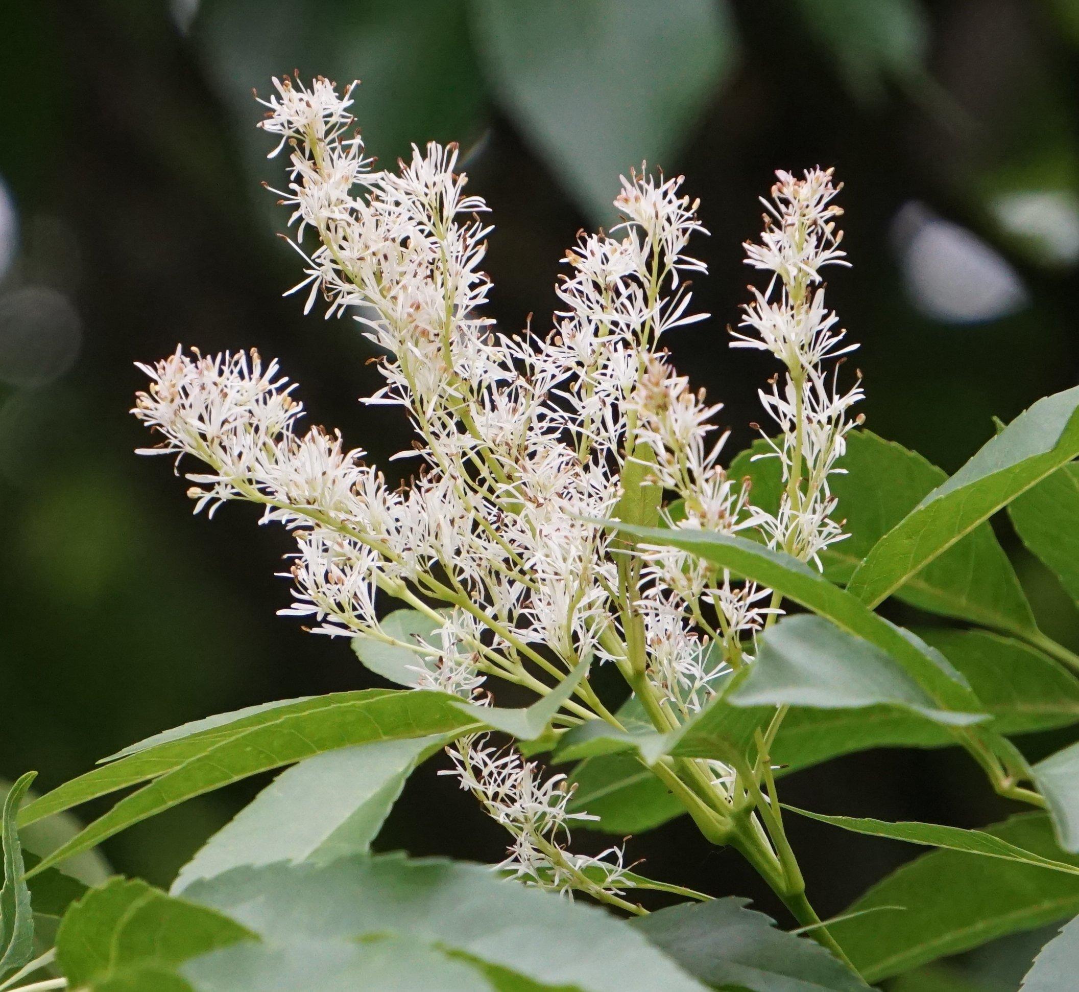 Das Bild zeigt die Blütenrispe einer Blumen-Esche. Auffällig sind die langen, schmalen weißen Kronblätter der zahlreich und dicht stehenden Einzelblüten, was an Blumensträuße erinnert. Zu sehen sind hier auch die Staubblätter. Hier an einem Baum an der Schönefelder Chaussee zur Nachblüte im Juni 2021.