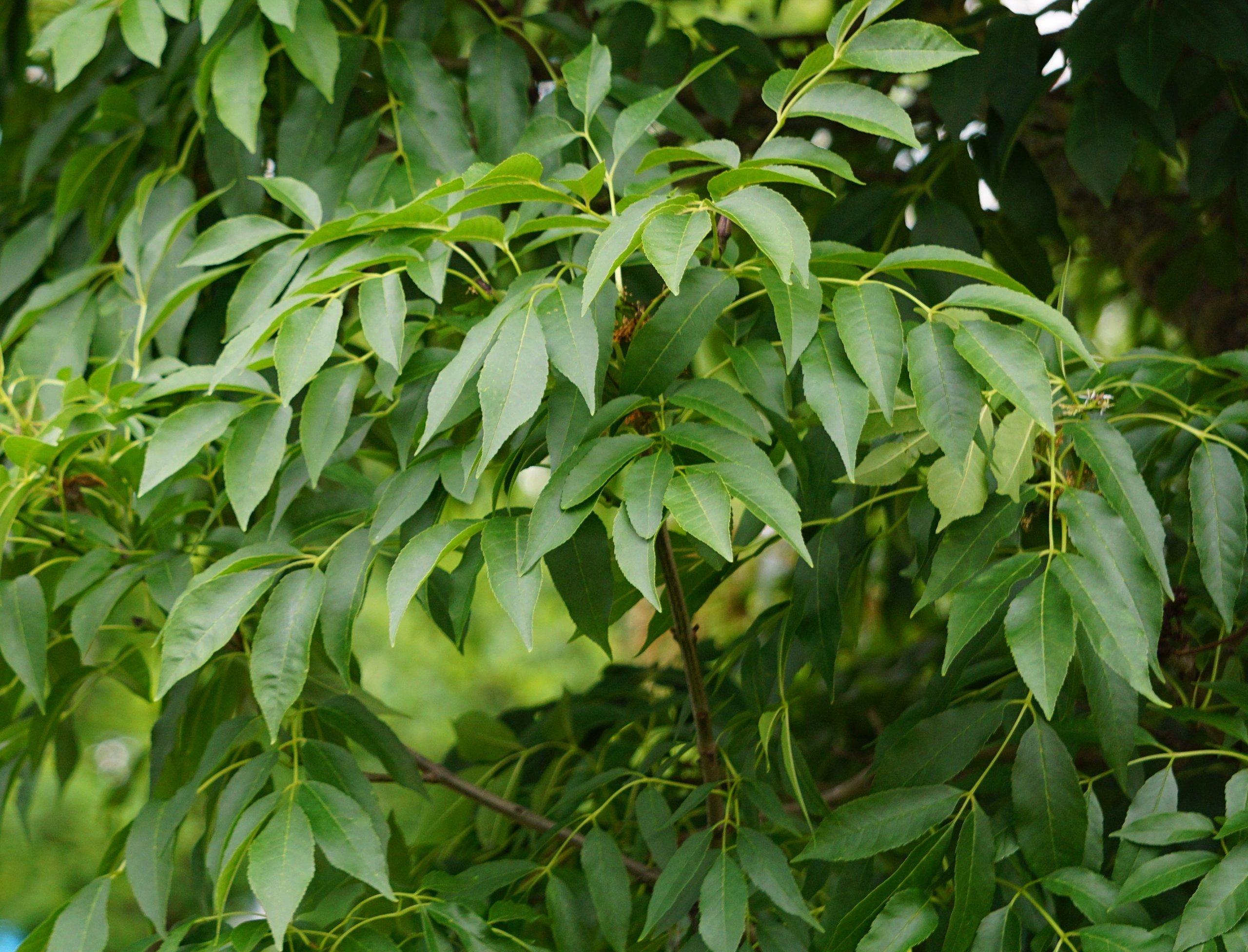 Das Bild zeigt die Laubblätter an einer Blumen-Esche an der Schönefelder Chaussee im Kosmosviertel, Juni2021. Diese gegenständig ansitzenden Fiederblätter sehen denen der Gewöhnlichen Esche ähnlich.