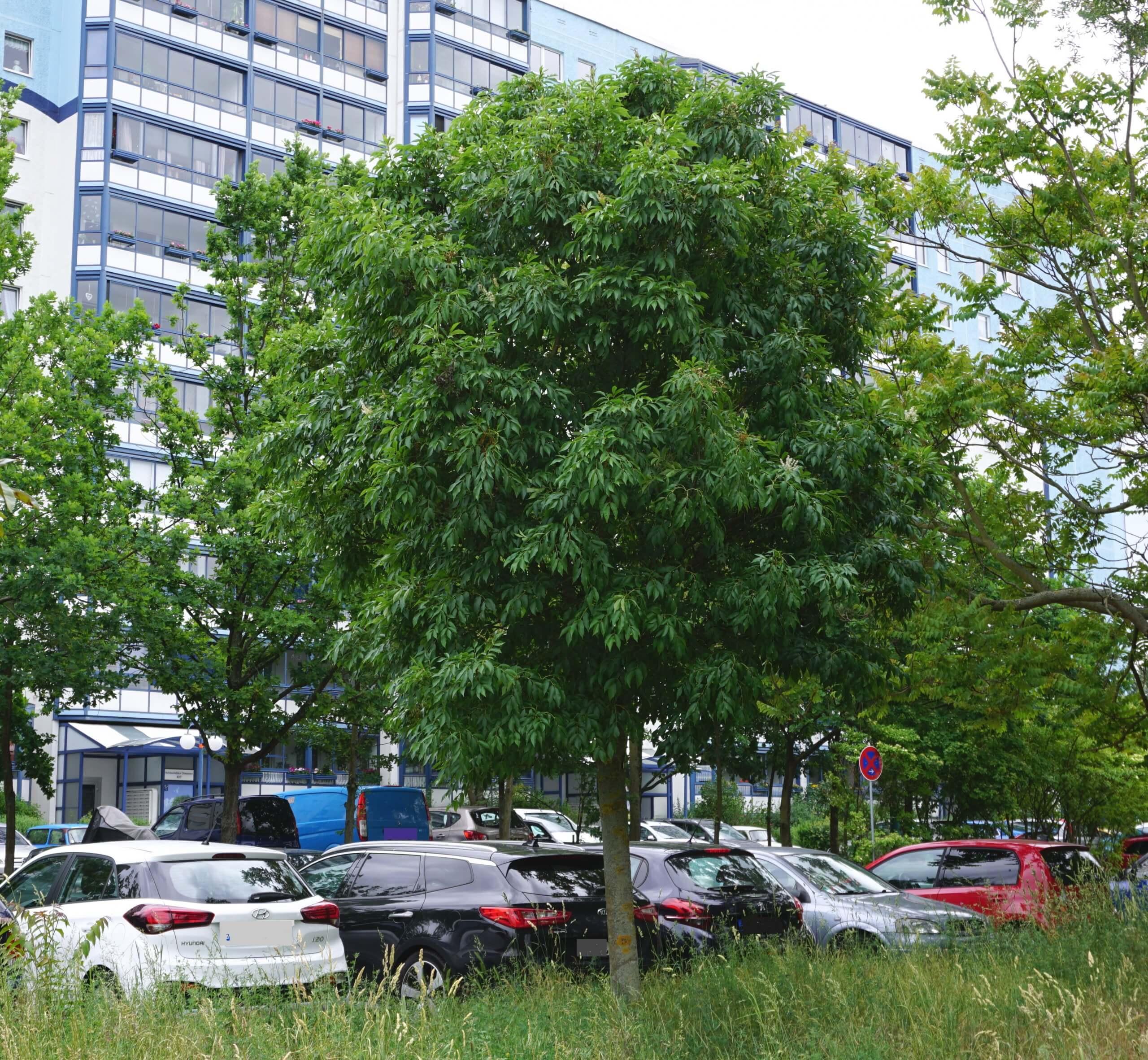 Das Bild zeigt ein Exemplar einer Blumen-Esche im Grünstreifen an der Schönefelder Chaussee im Kosmosviertel. Es zeigt eine kugelige, gut gewachsene Krone. Die Aufnahme entstand im Juni 2021.
