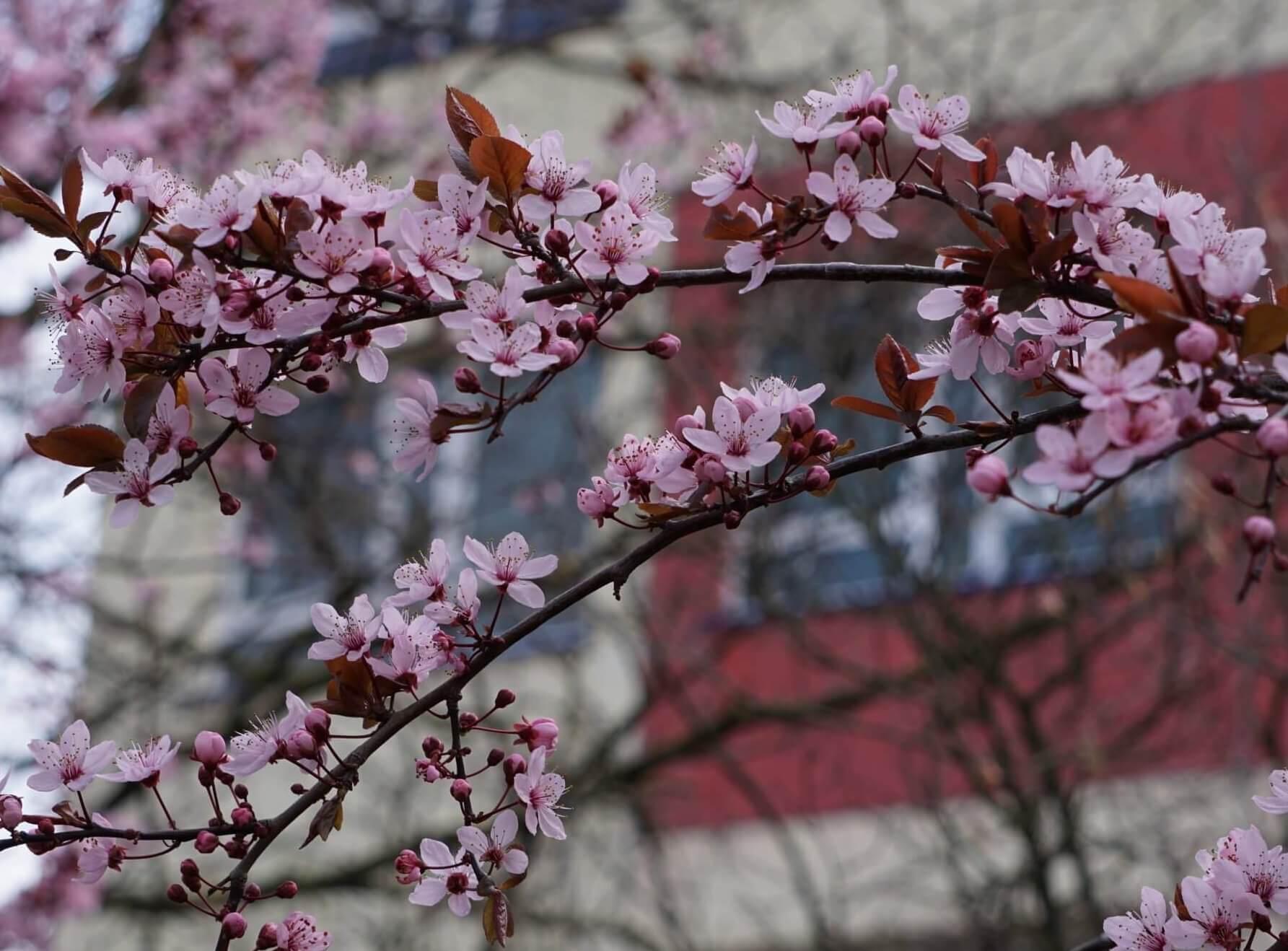 Das Bild zeigt die weiß-rosafarbenen Blüten einer Japanischen Zierkirsche mit einfachen Blüten, hier im März 2020 vor dem Anne-Frank-Gymnasium im Kosmosviertel.