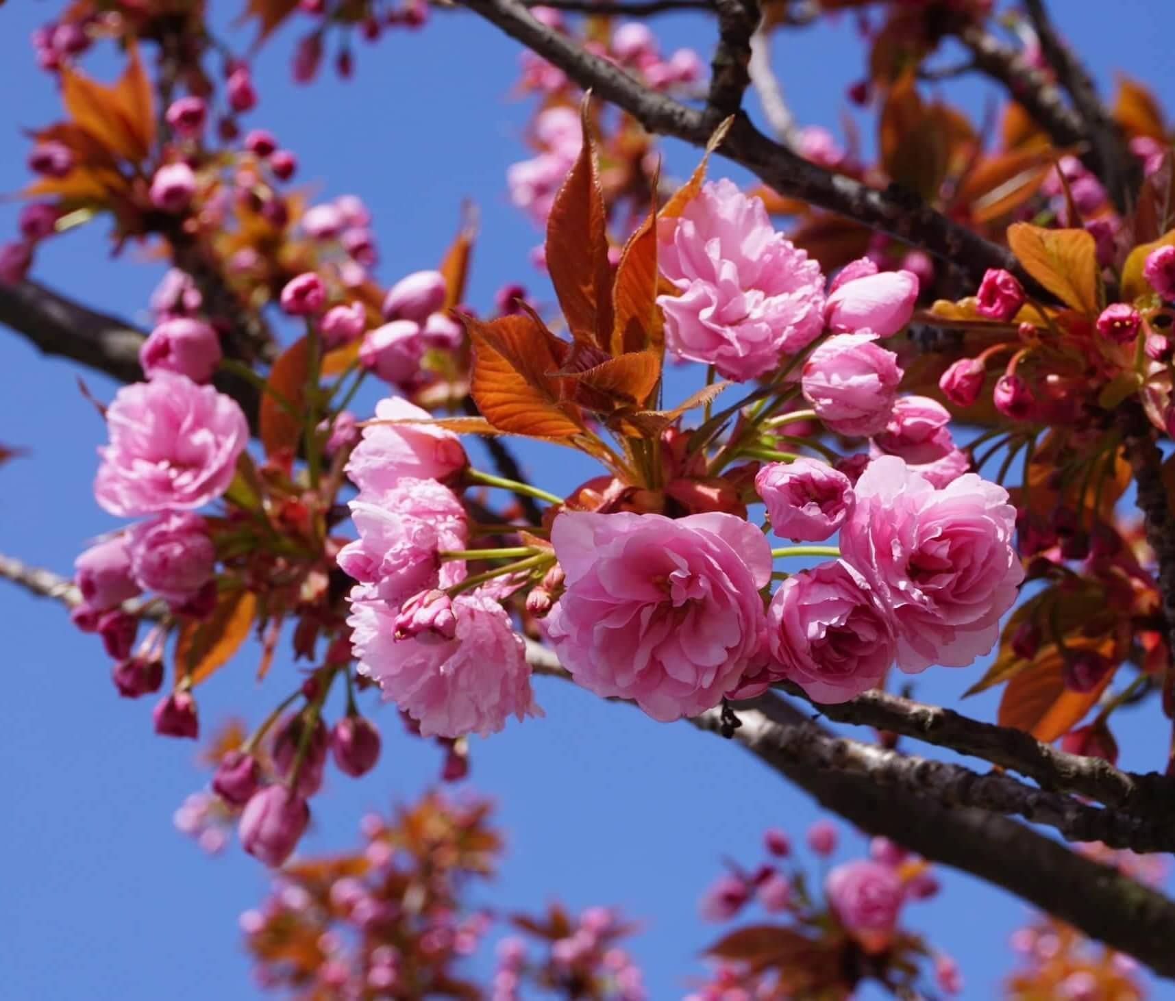 Das Bild zeigt die rosettenartig dicht gefüllten Blüten einer Zuchtsorte der Japanischen Blütenkirsche mit rosafarbenen Blütenblättern. Hier als Straßenbaum in Köpenick, Müggelheimer Straße, April 2020.