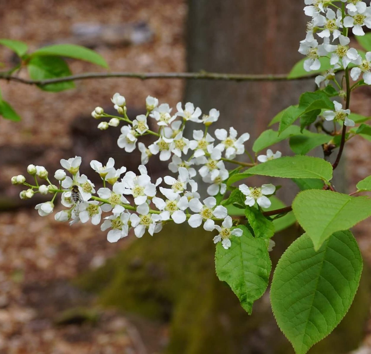 Das Bild zeigt die Blütentraube der Gewöhnlichen Traubenkirsche im Müggelwald bei Schmetterlingshorst. Zahlreiche Insekten wie hier eine Schwebfliege gehören zu den Besuchern der Blüten.