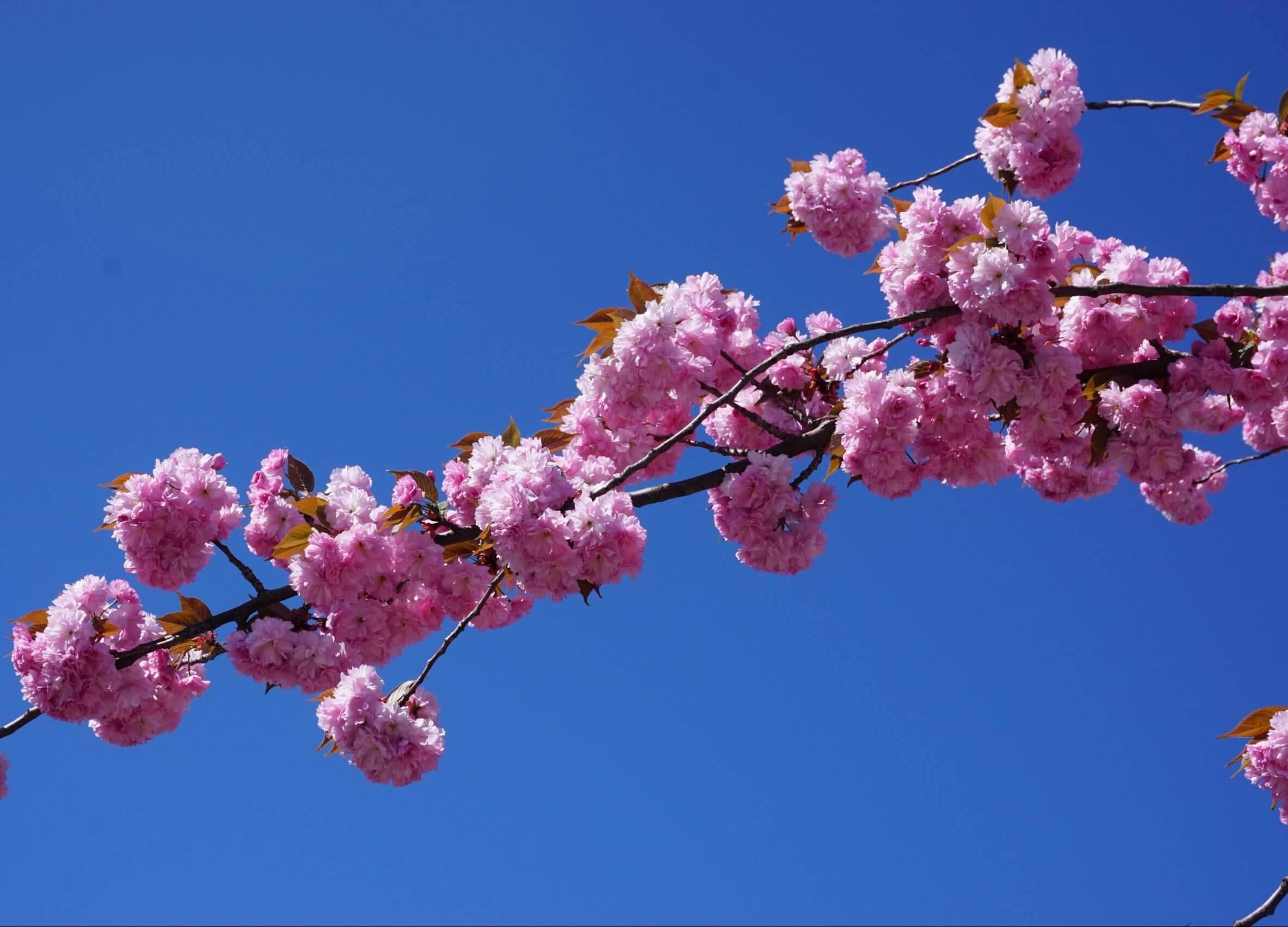 Das Bild zeigt einen Ast mit den gegen den blauen Himmel in harmonischem Kontrast stehenden rosafarbenen Blüten einer Zuchtsorte der Japanischen Blütenkirsche mit gefüllten Blüten.