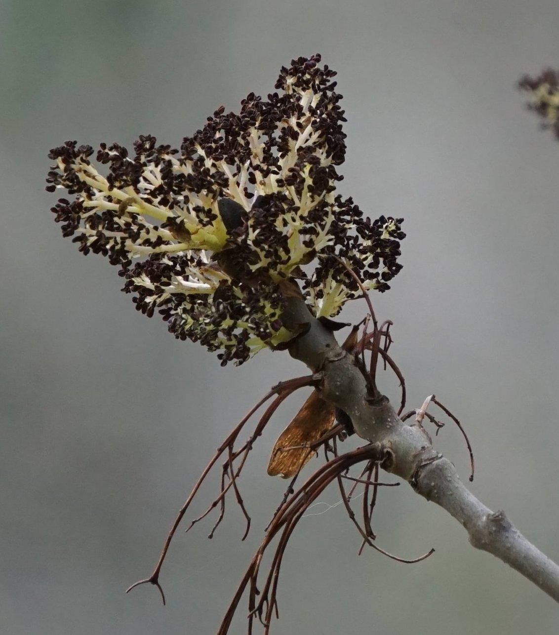 Das Bild zeigt die Blütenstände der Gewöhnlichen Esche. Sie sind reich verzweigte Rispen, wobei die heranwachsenden Verzweigungen grünlich-weiß sind.