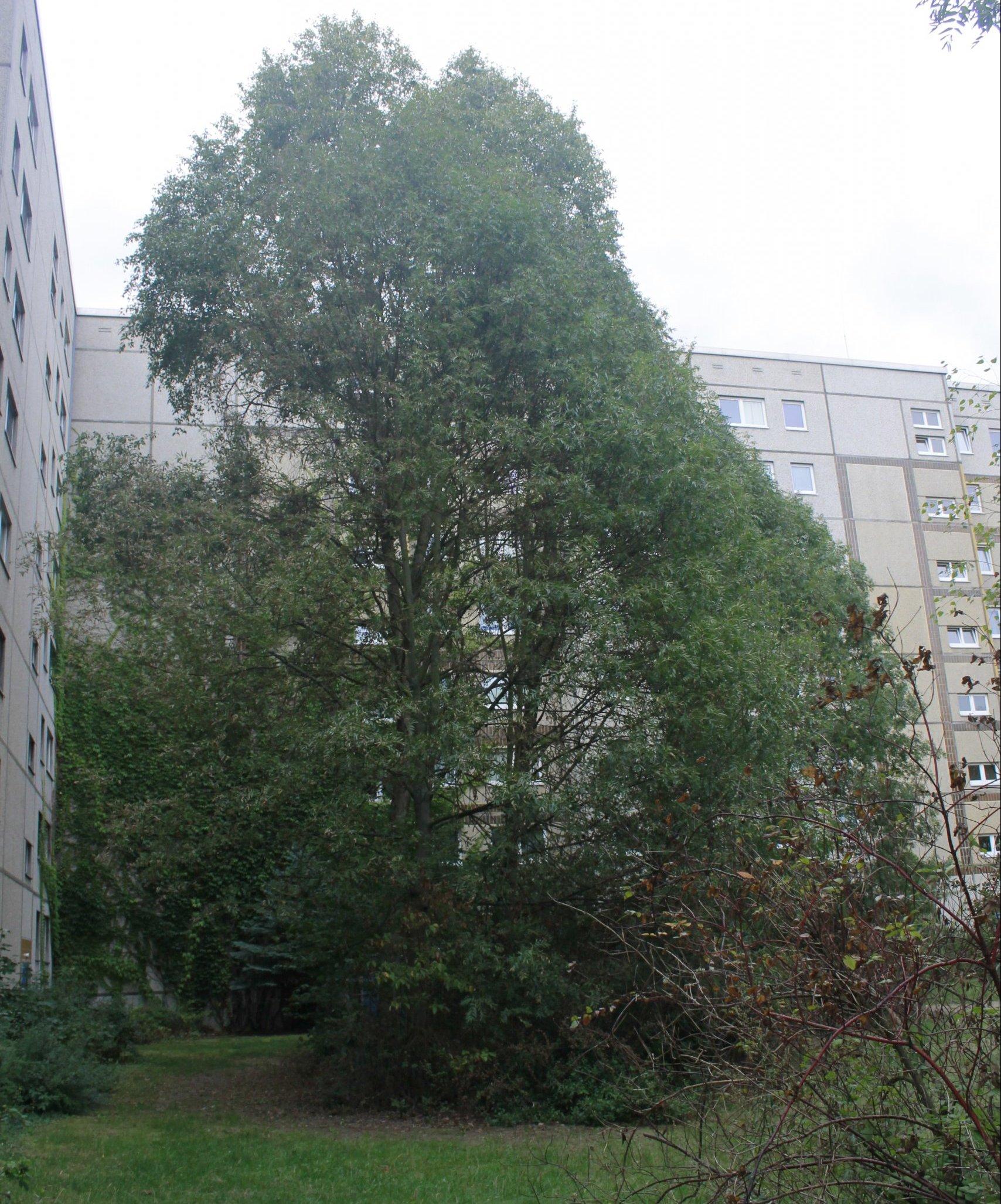 Das Bild zeigt bereits hoch aufragende Eschen in einem Innenhofbereich im Südabschnitt des Kosmosviertels.
