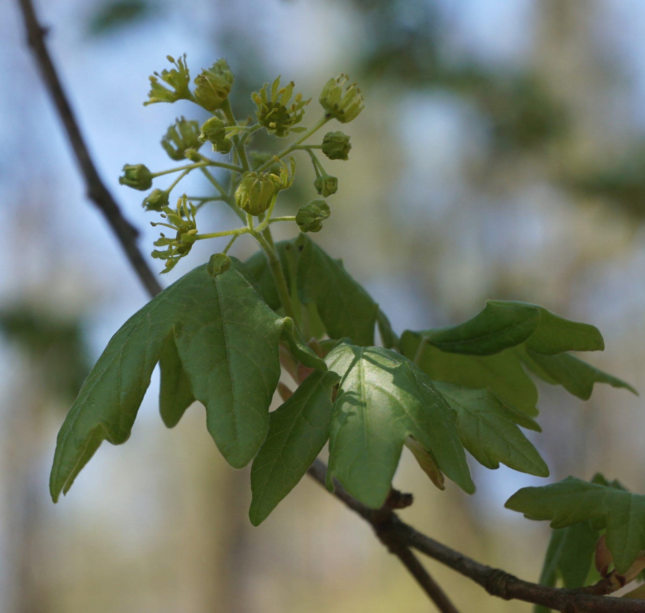 Das Bild zeigt den Blütenstand eines Feld-Ahorns. Die Blütenstände des Feld-Ahorns sind ebenso wie die des Spitz-Ahorns aufwärts gerichtet, wobei dessen Rispen jedoch eine geringere Anzahl von Einzelblüten, maximal sind es 20, aufweisen. Ebenso wie der Berg-Ahorn entwickeln sich die Blütenrispen gemeinsam mit dem Blattaustrieb. Hier an einem Exemplar bei der Ortschaft Müggelheim, Ende April 2020.