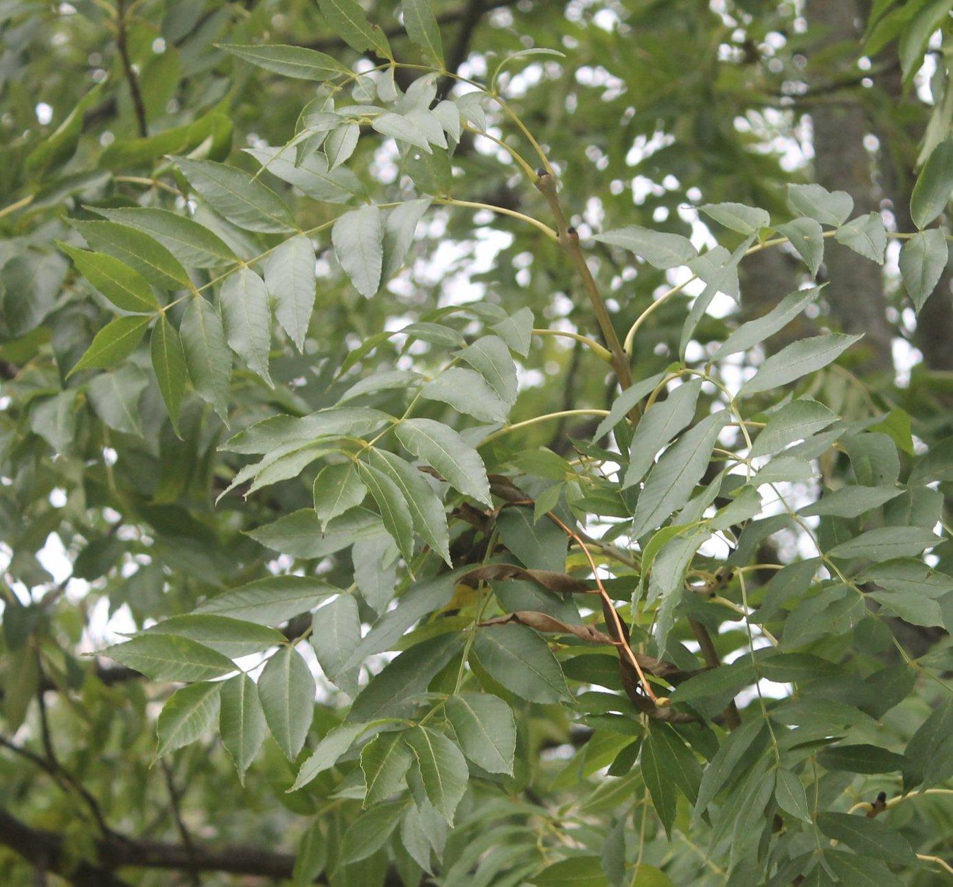 Das Bild zeigt die Fiederblätter der Gewöhnlichen Esche. Sie sind mit 9 bis 13 einzelnen, spitz zulaufenden Fiederblättchen besetzt. Hier an einem Baum im Kosmosviertel.