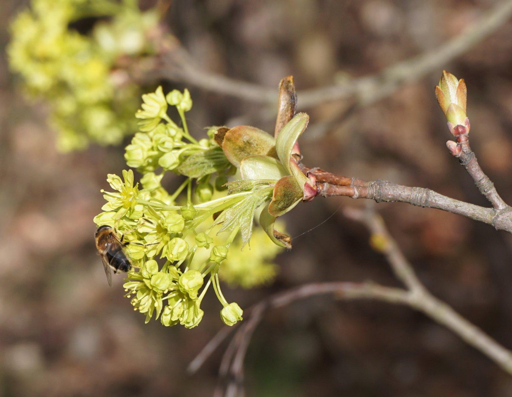 Das Bild zeigt die Blüten des Spitz-Ahorns. Sie werden wie die der anderen heimischen Ahorn-Arten, des Berg- und des Feld-Ahorns, von Insekten bestäubt.