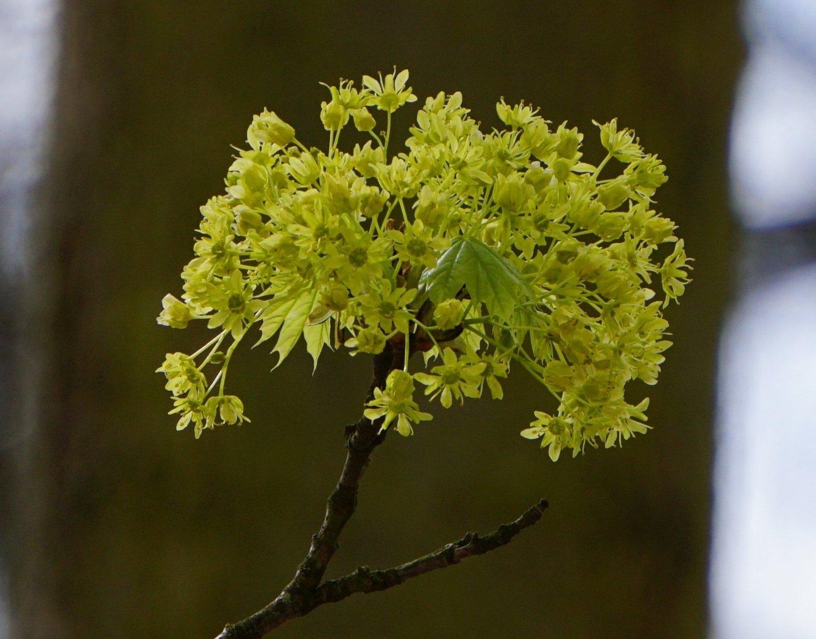 Das Bild zeigt die aufwärts gerichtete Blütenrispe des Spitz-Ahorns, die bei idealer Ausbildung halbkugelige Gestalten annimmt. Die Blütenrispe des später blühenden Berg-Ahorns ist dagegen länglich-traubenartig und hängend.